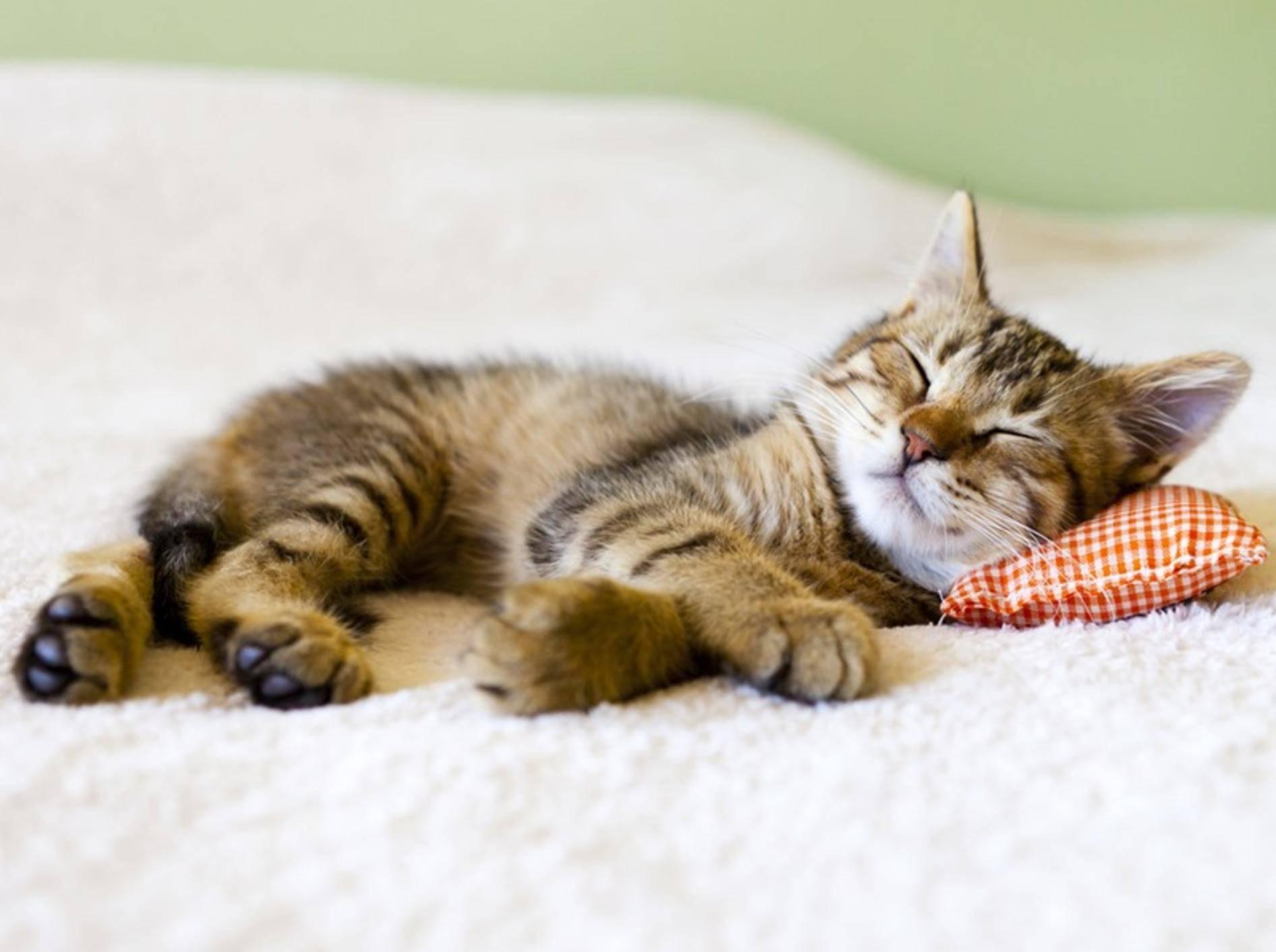 Wie sich eine Katze bettet, sagt einiges über sie aus – Bild: Shutterstock / MaxyM