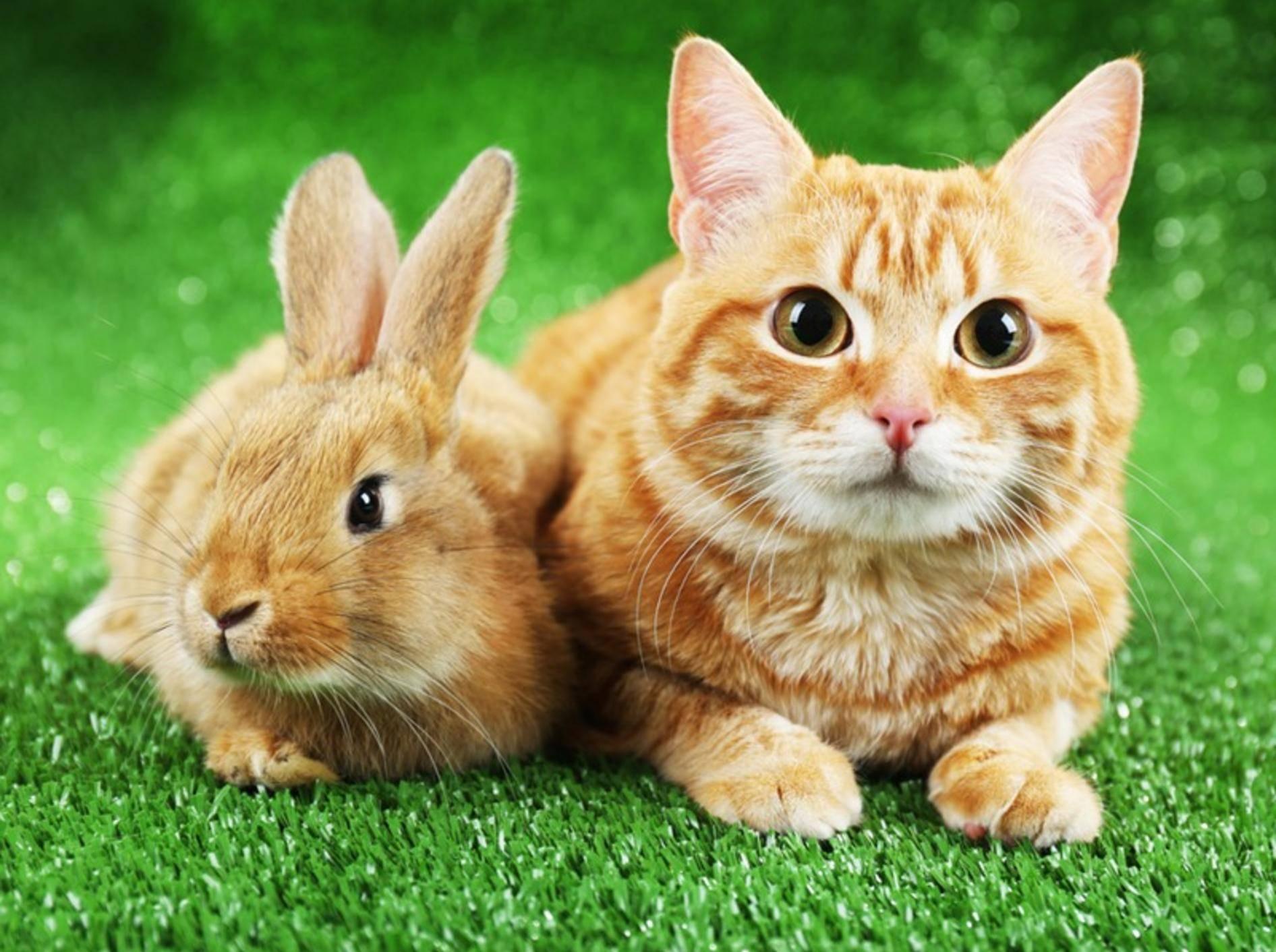 Manchmal funktioniert das Zusammenleben von Katzen und Kaninchen, meistens aber bedeutet es Stress – Shutterstock / Africa Studio