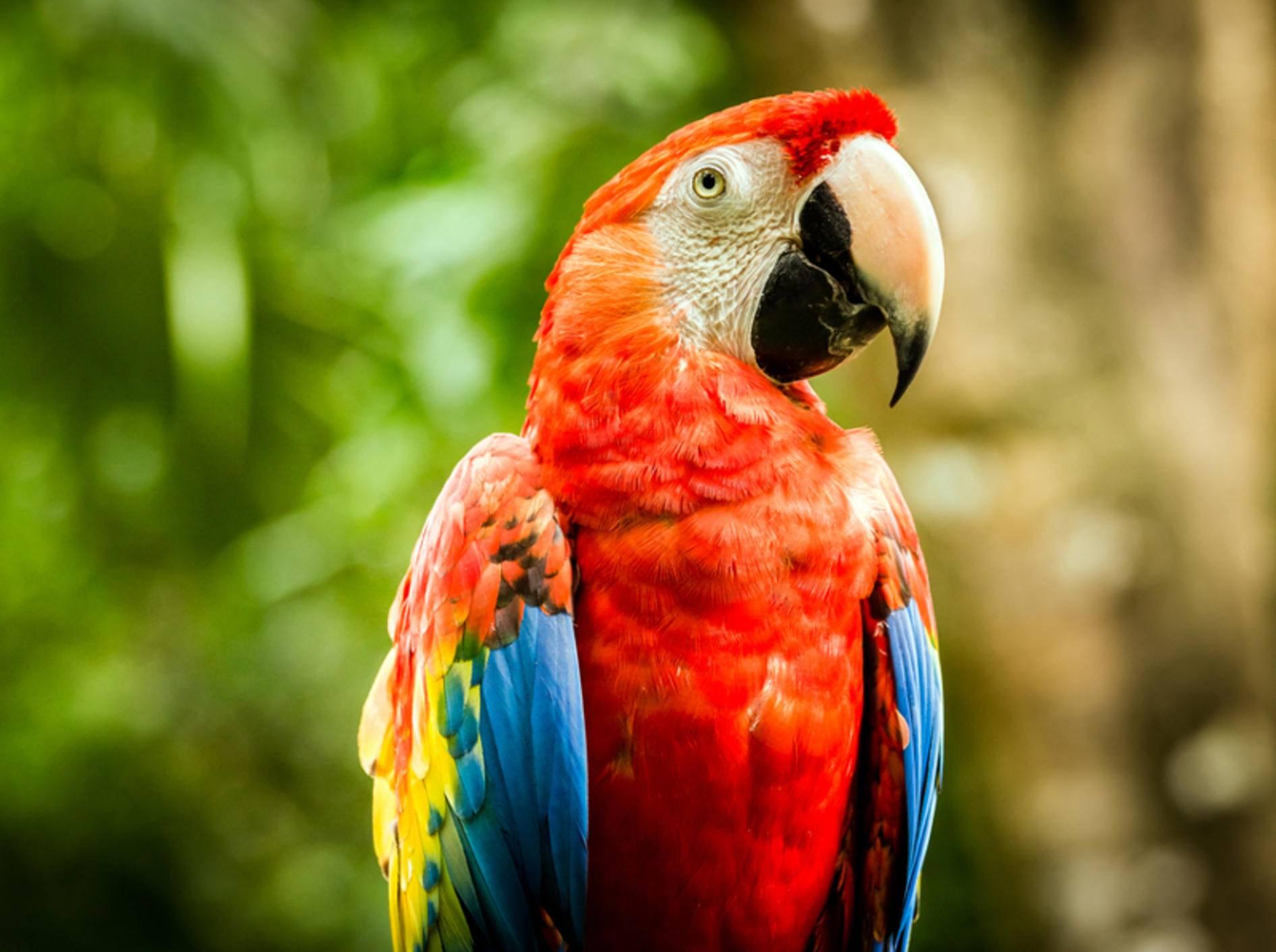 Papageien als Haustiere halten? Die Federfreunde sind quirlige, intelligente Tiere, die aber auch viel Pflege benötigen – Shutterstock / Maciej Czekajewski