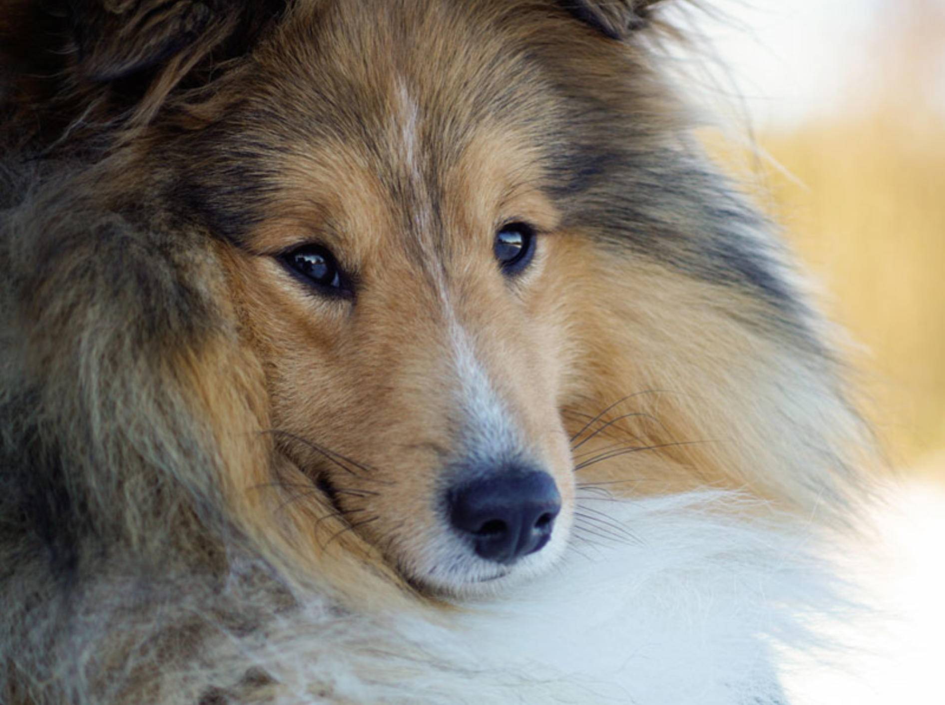 """""""Mini-Lassie"""" wird der Sheltie auch genannt. In Wahrheit sind Shetland Sheepdog und Collie aber zwei unterschiedliche Rassen – Ondrej Senk / Shutterstock"""