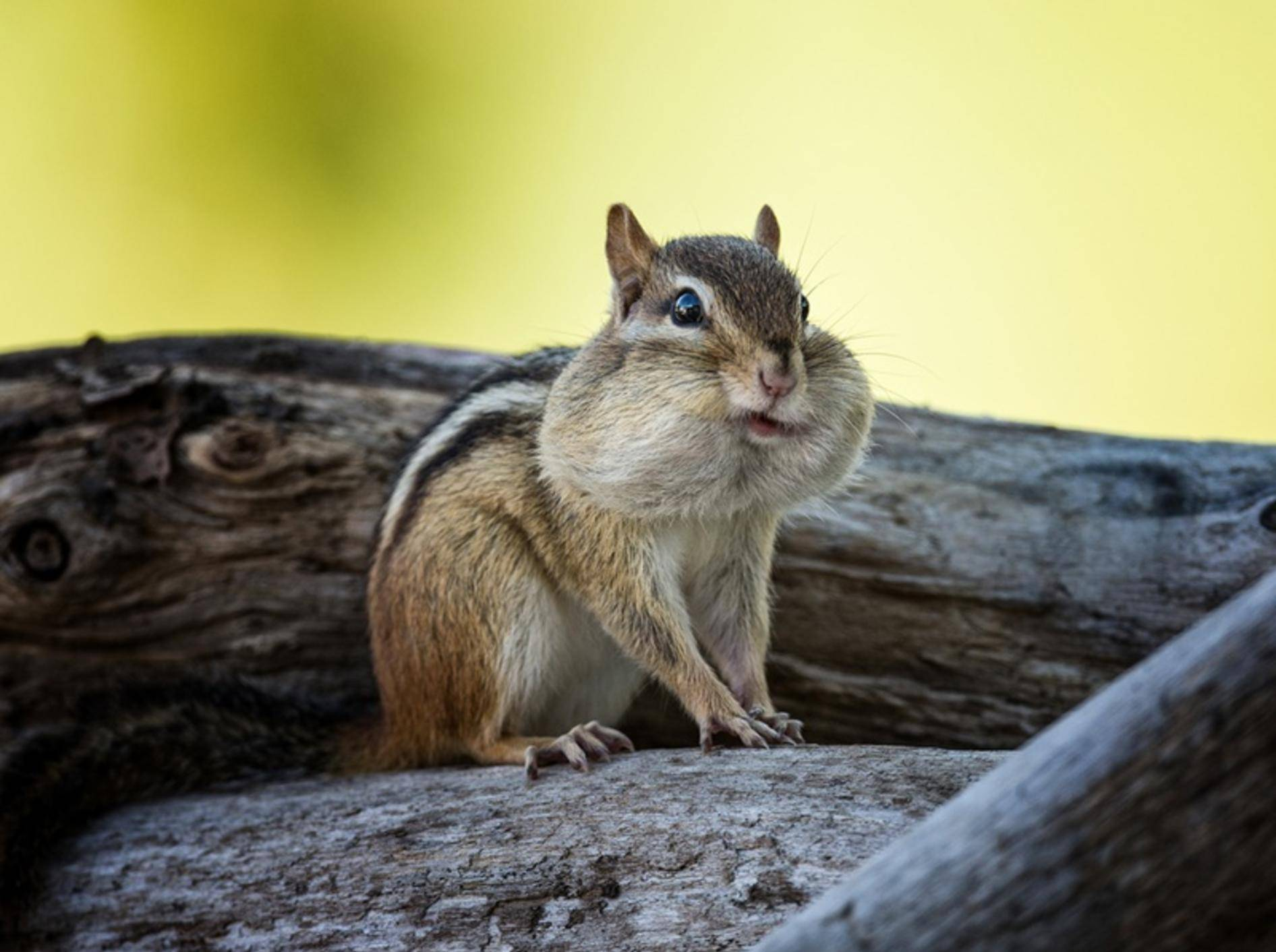 Streifenhörnchen hat die Backen voll – Shutterstock / William G Carpenter
