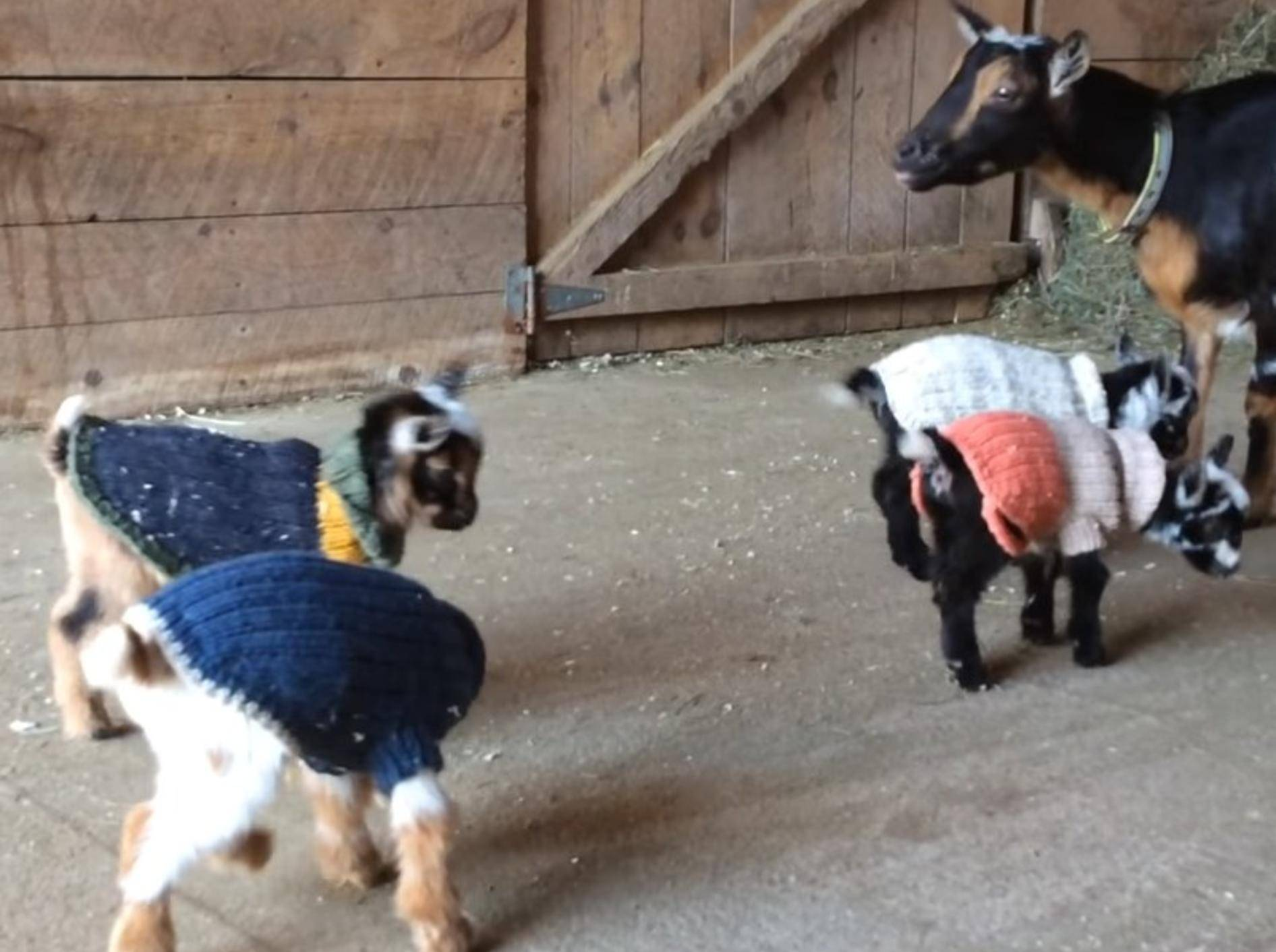 In den Pullis sehen die Ziegenbabys zuckersüß aus YouTube / Suflower Farm Creamery