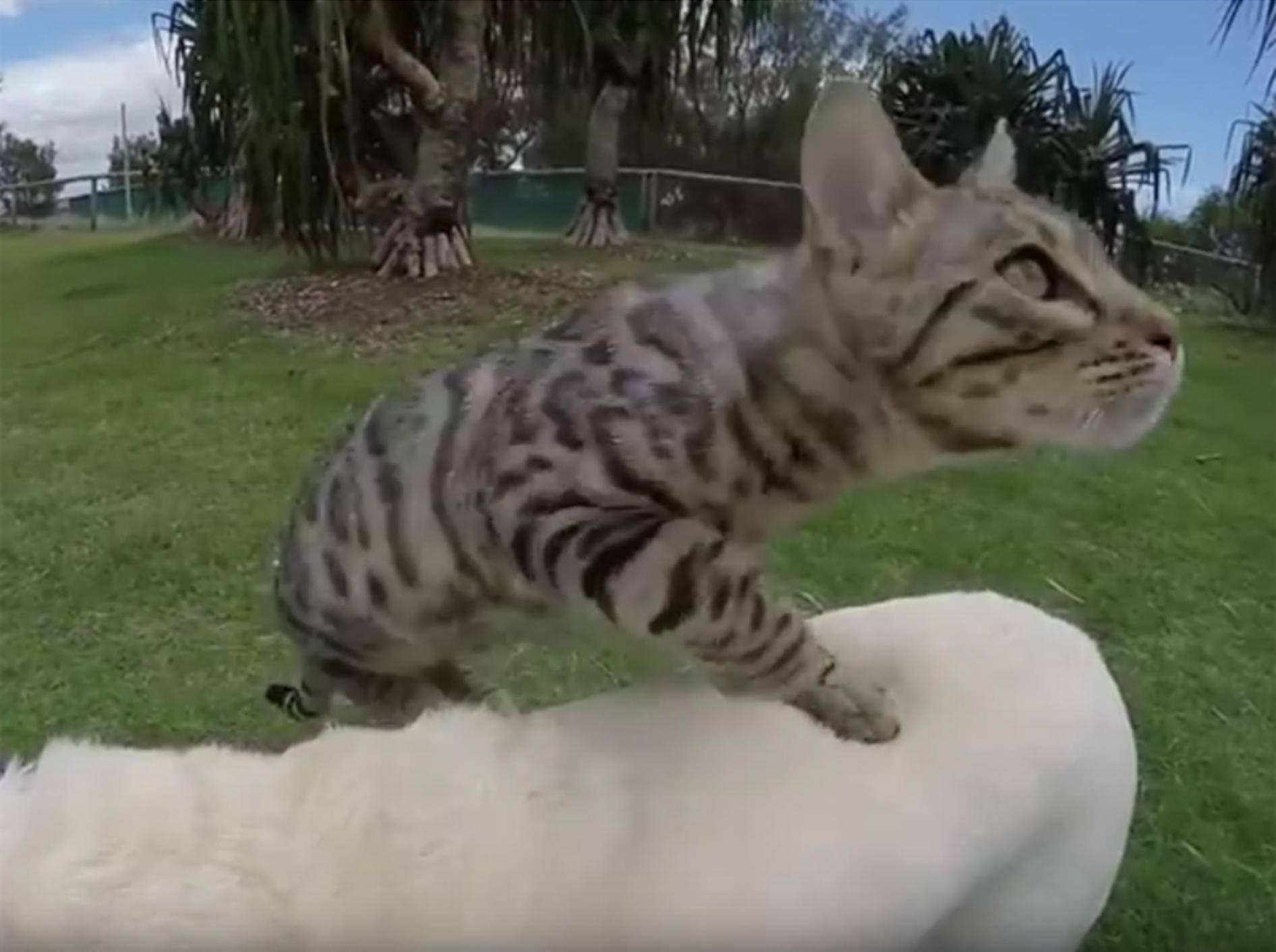 Bengalkater Boomer nutzt Hund als Sprungbrett – YouTube / CATMANTOO