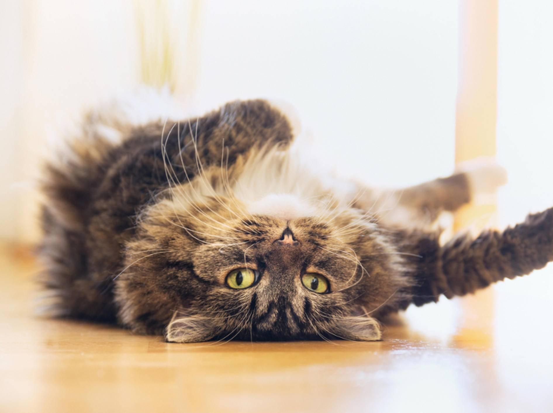 Legen Katzen sich auf den Rücken, hat das selten etwas mit Faulheit zu tun – shutterstock / VICUSCHKA