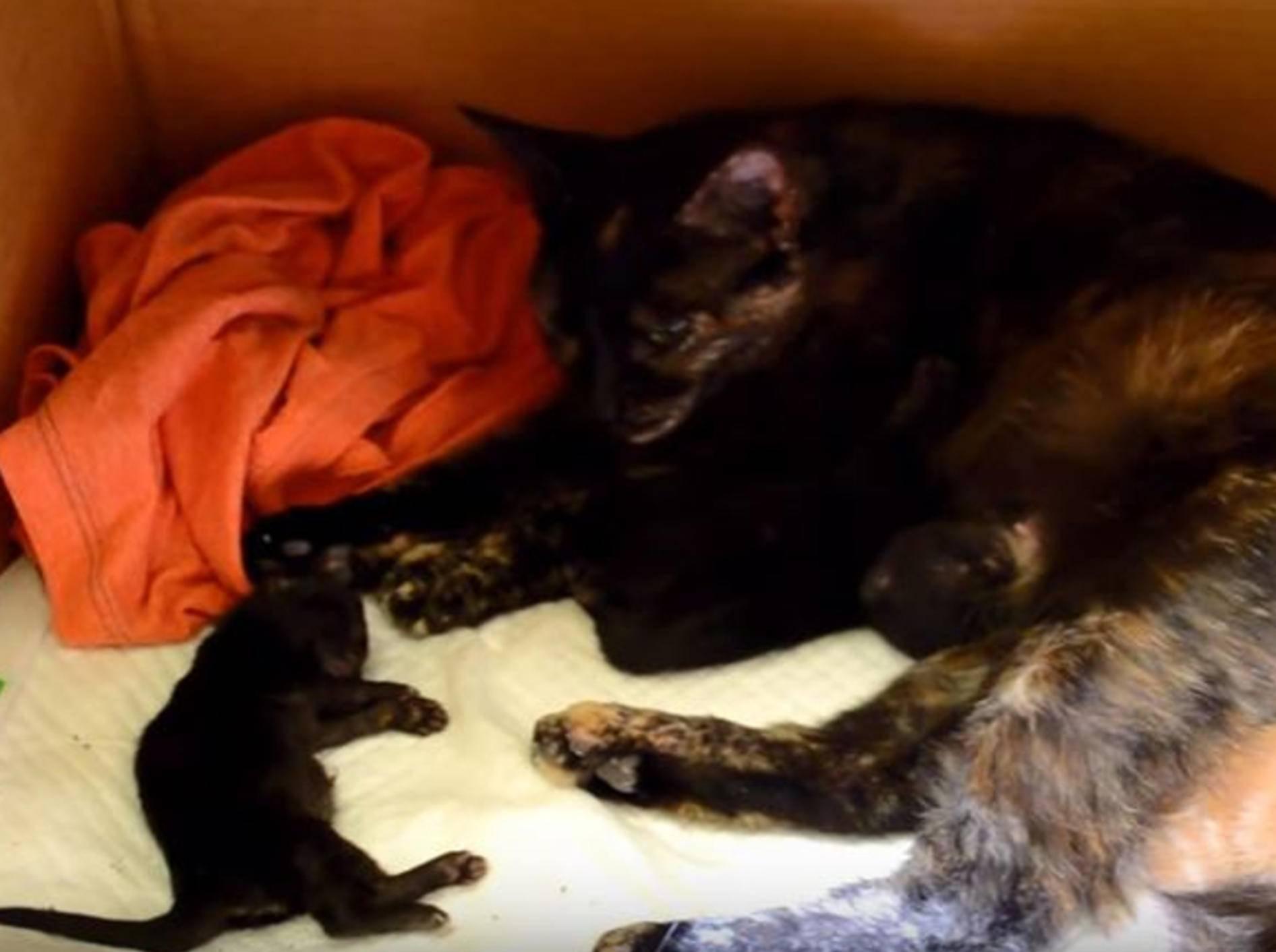 Manchmal braucht es eine helfende Hand, damit Katze und Kitten wohlauf sind – YouTube / OzGaga