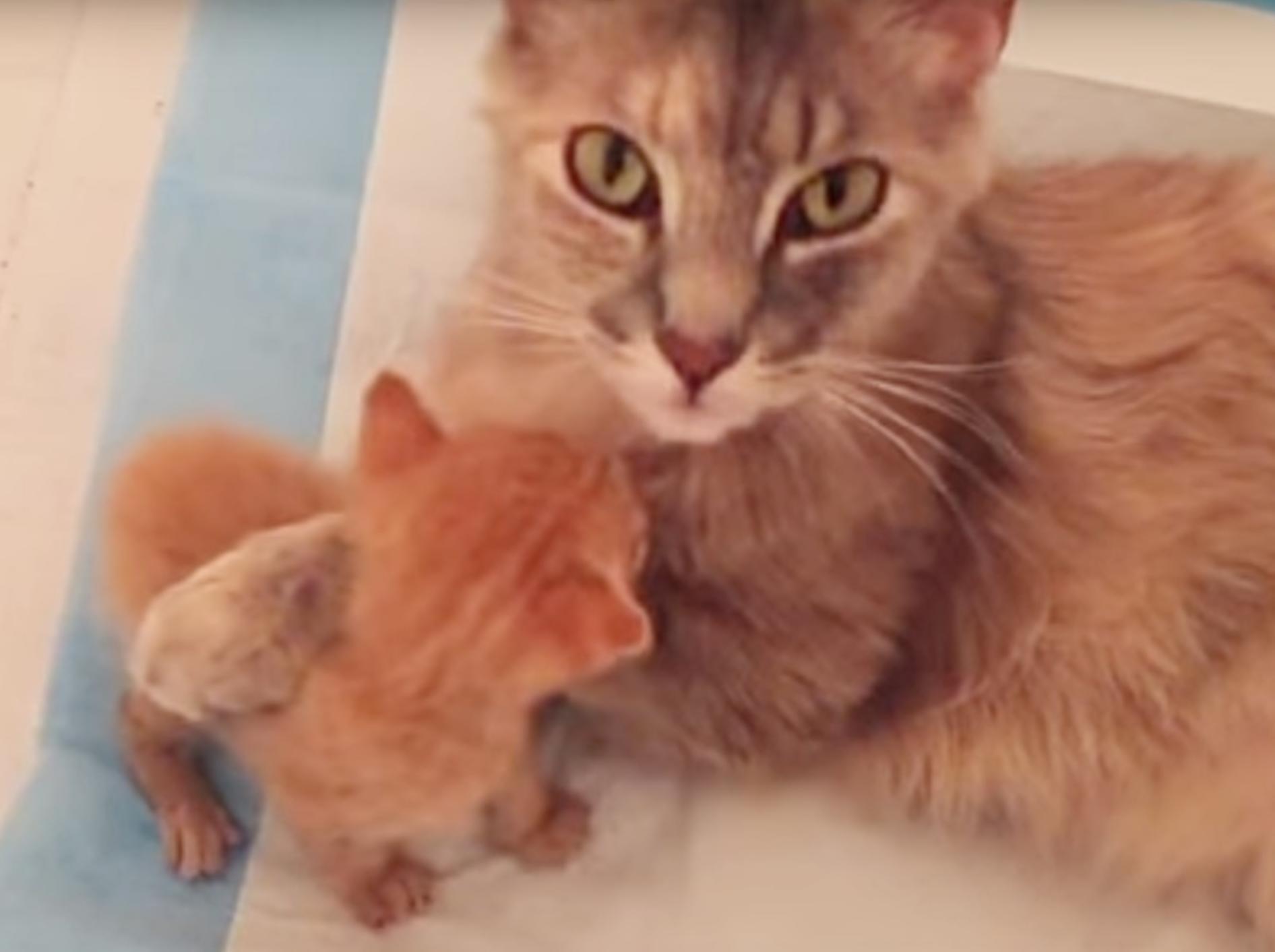 liebevolle-Mutterkatze-adoptiert-Weisenkaetzchen