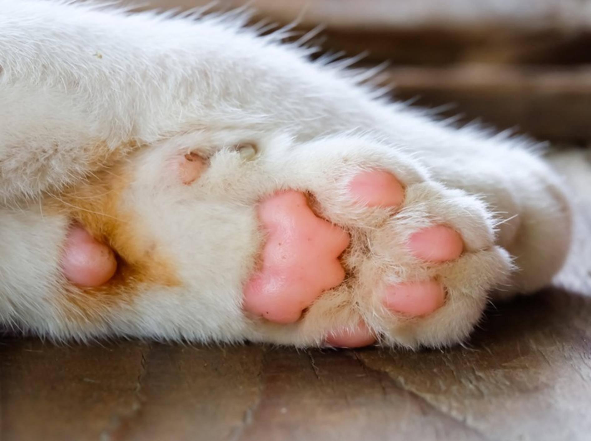weiße-Katze-rosa-Katzenpfoten