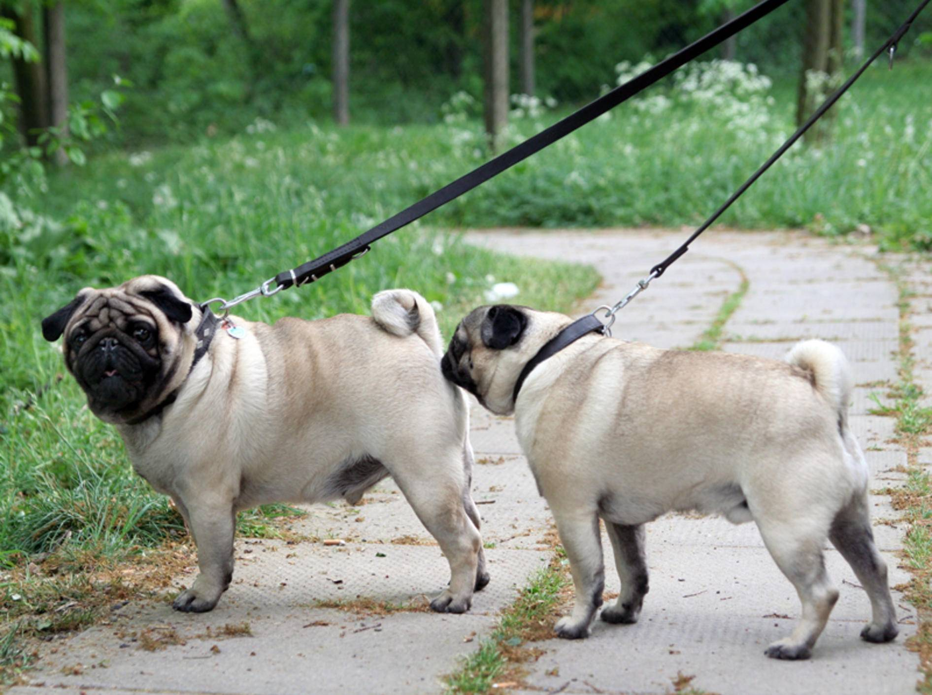 """Zwei Hunde lernen sich kennen: """"Schönen guten Tag, gestatten Sie, dass ich mich vorstelle?"""" – """"Aber sicher doch, schnuppern Sie mir am Allerwertesten"""" – Shutterstock / Johannes Flex"""