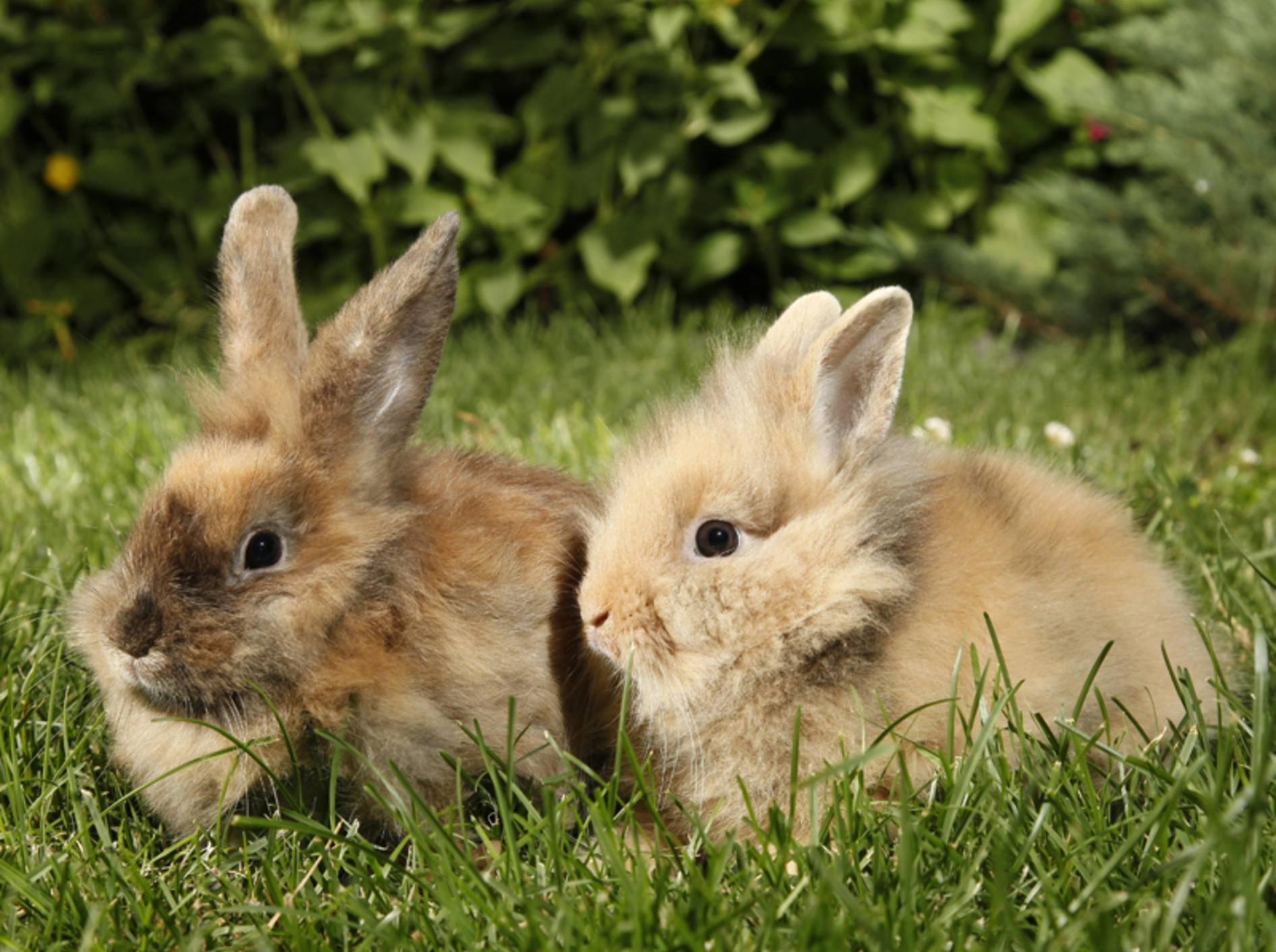 Wenn Sie Kaninchen vergesellschaften wollen, eignet sich dafür am besten ein neutrales Terrain – Shutterstock / Richard Peterson