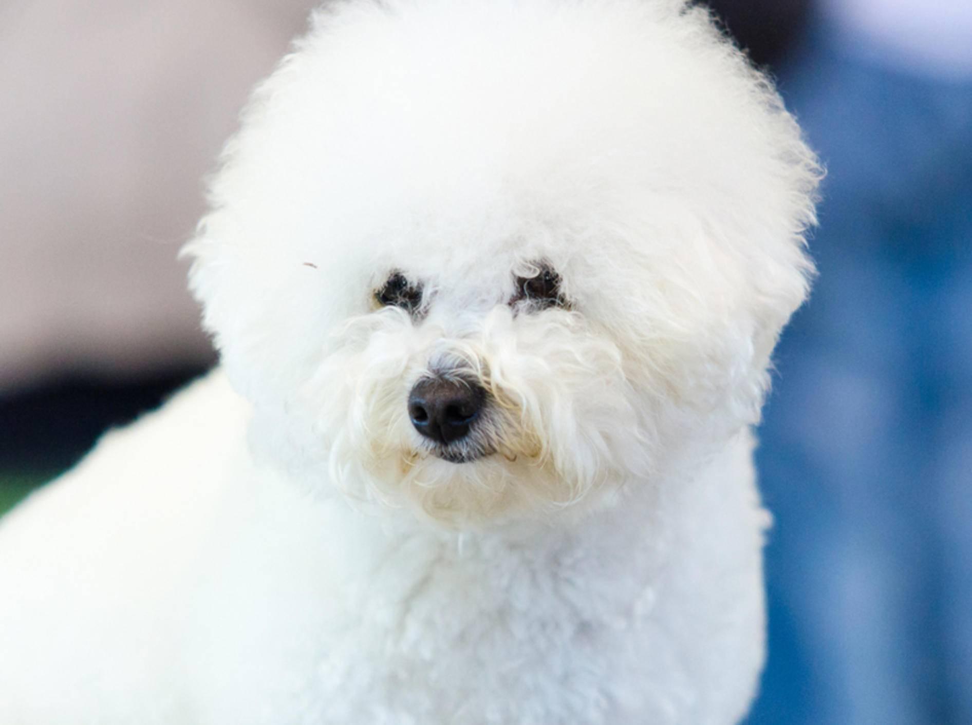 Ein Bichon Frisé kann über 15 Jahre alt werden. Umso wichtiger ist es, die Gesundheit des Hundes lange zu erhalten – Shutterstock / Fotoeventis