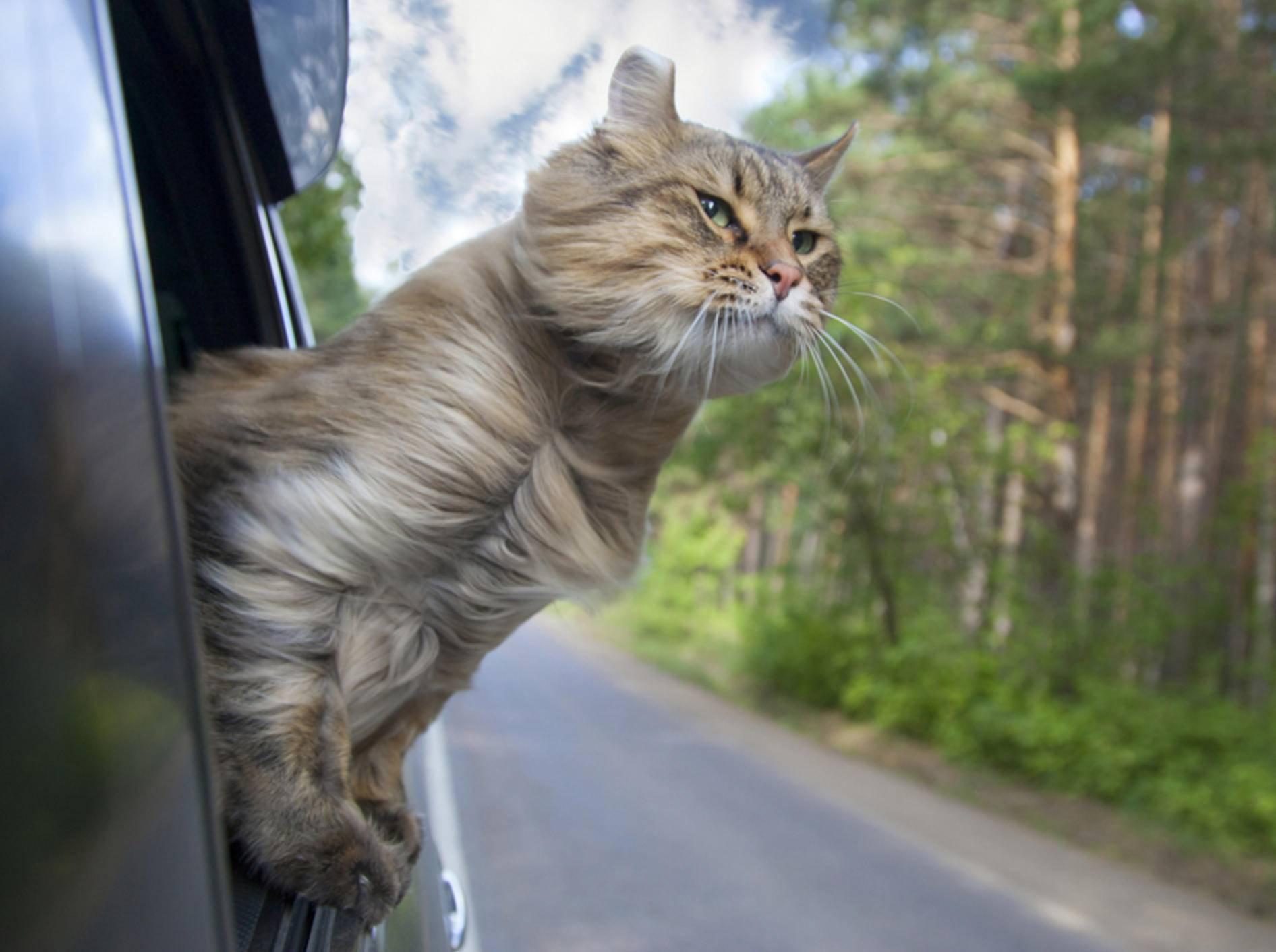 Ist Ihre Samtpfote gerne unterwegs? Dann ist das Camping mit Katze möglicherweise ideal für sie – Shutterstock / Popel Arseniy