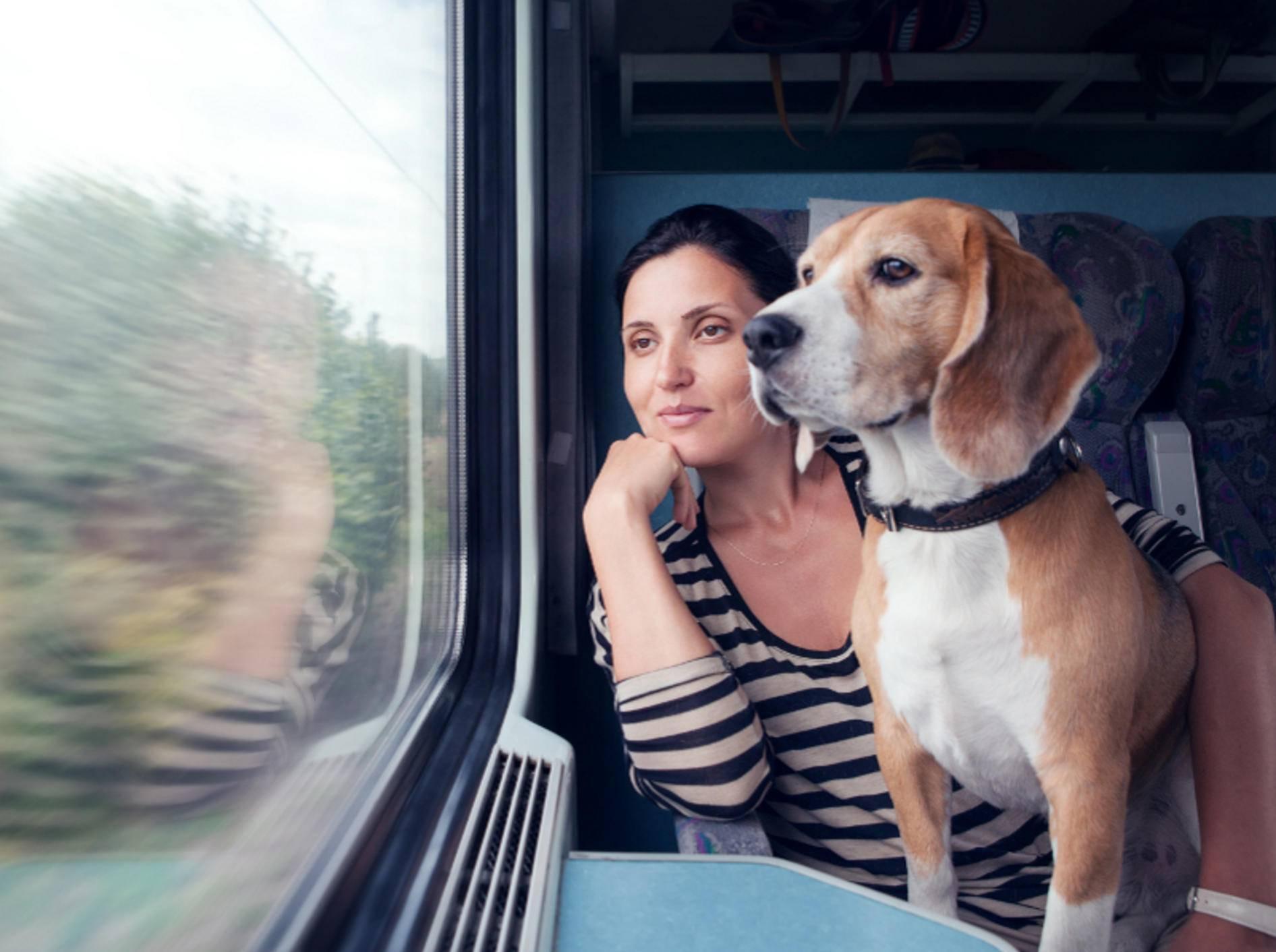 Streng genommen, müsste dieser süße Zug-Beagle eigentlich einen Maulkorb tragen – Shutterstock / Soloviova Liudmyla