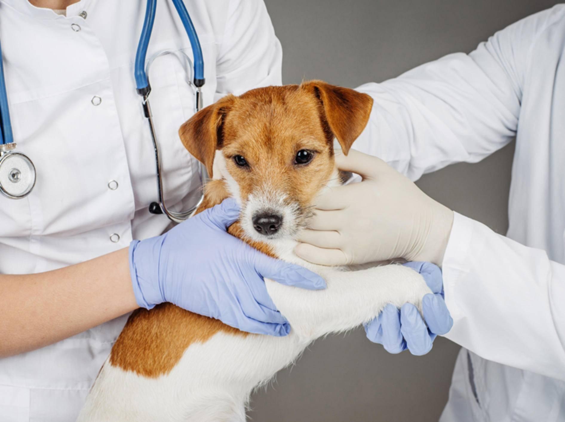 Bevor ein Tierarzt den Abszess beim Hund behandeln kann, muss er ihn gründlich untersuchen – Bild: Shutterstock / NEstudio