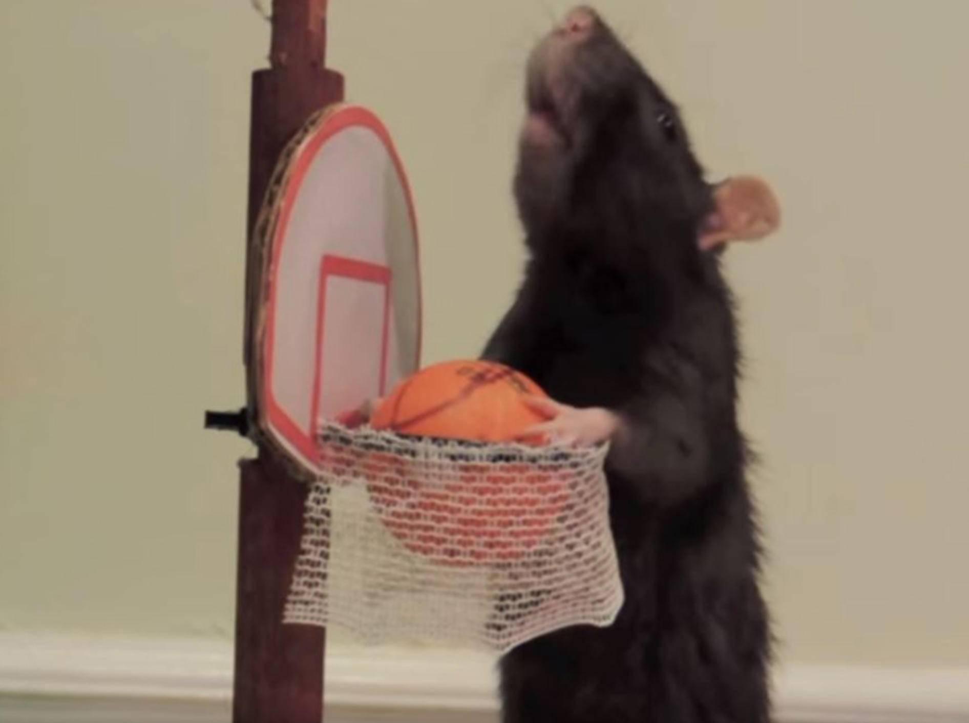Kluge Ratten zeigen ihre Tricks YouTube Abby Roeser