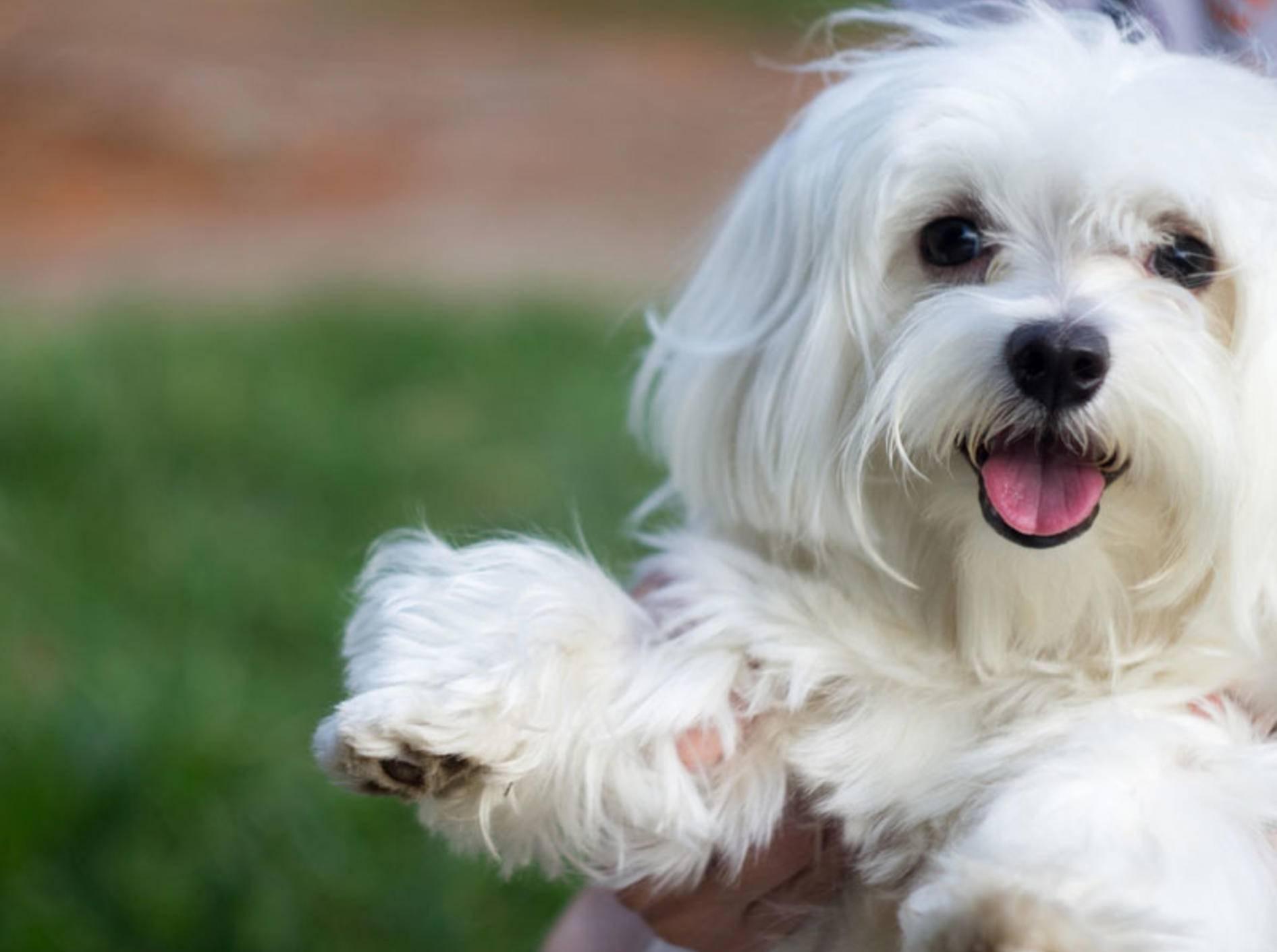 Der Malteser ist eine pflegeleichte Rasse: Der kleine Hund lässt sich gut in der Wohnung halten – Bild: Shutterstock / alvesflavio