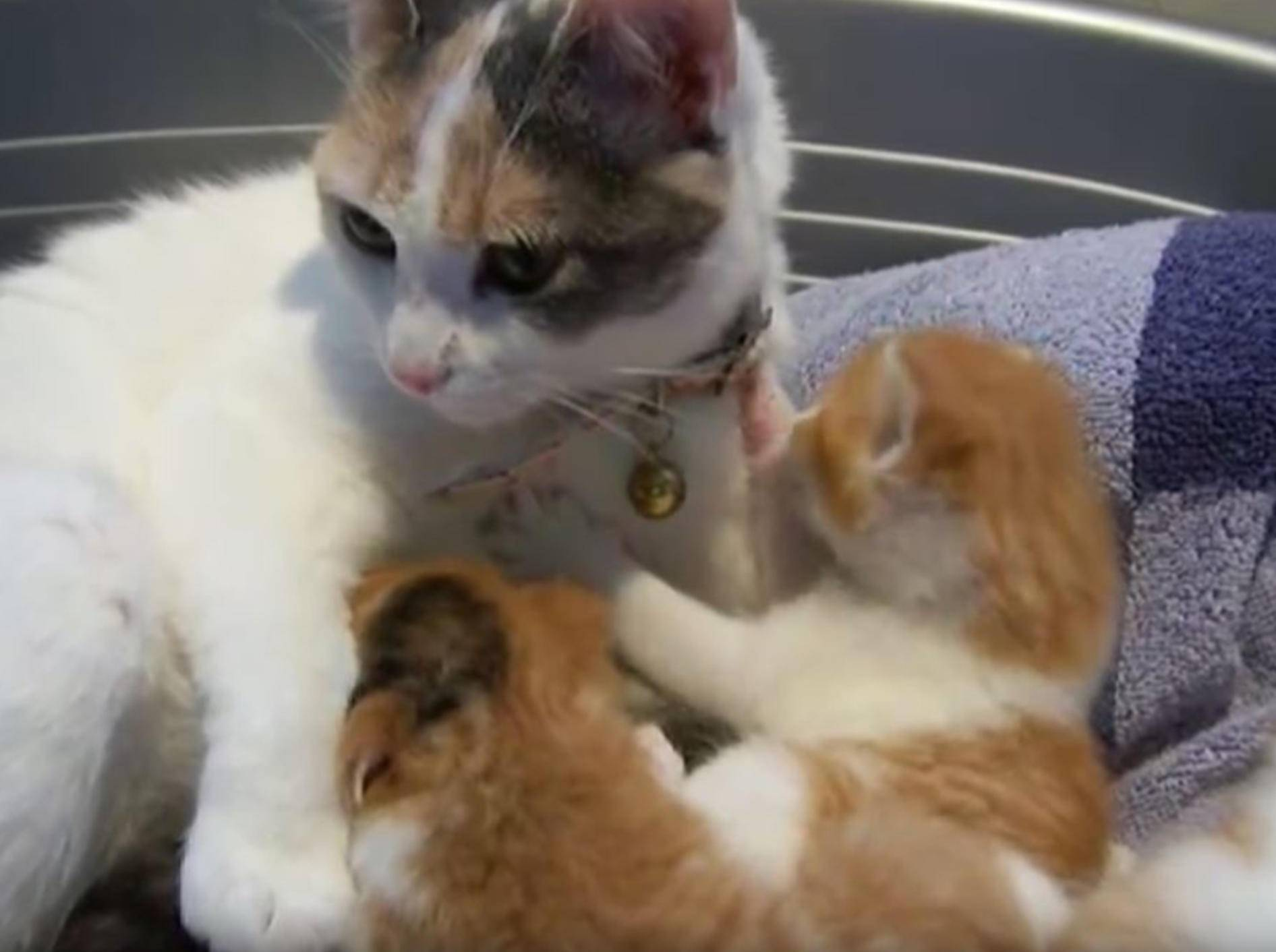 """""""Nicht einmal ausschlafen kann man hier!"""" Mama-Miez reißt ihre Babys morgens energisch aus den Träumen – YouTube / childishwitch"""