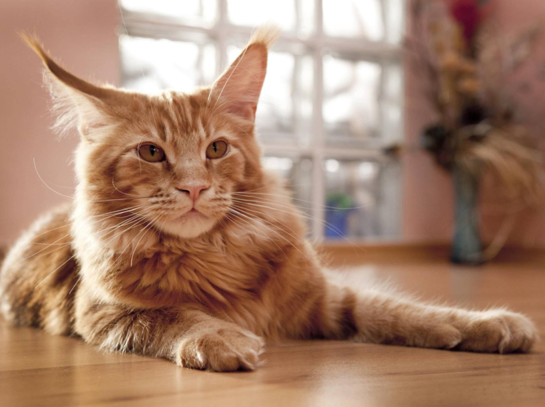 Mit der richtigen Vorbereitung kann eine Katze durchaus für eine kurze Zeitspanne alleine bleiben. – Shutterstock / Marten_House
