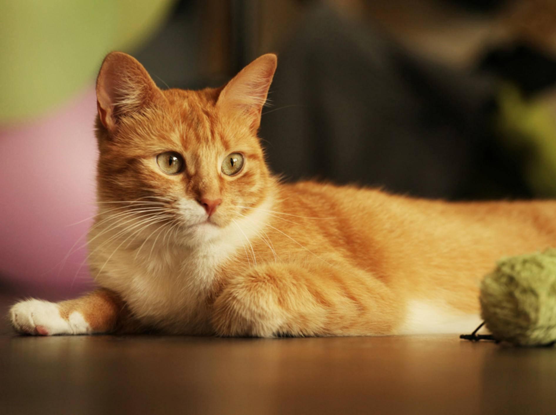 Dass rote Katzen männlich sind, stimmt nicht immer – Bild: Shutterstock / Pavel Rumme