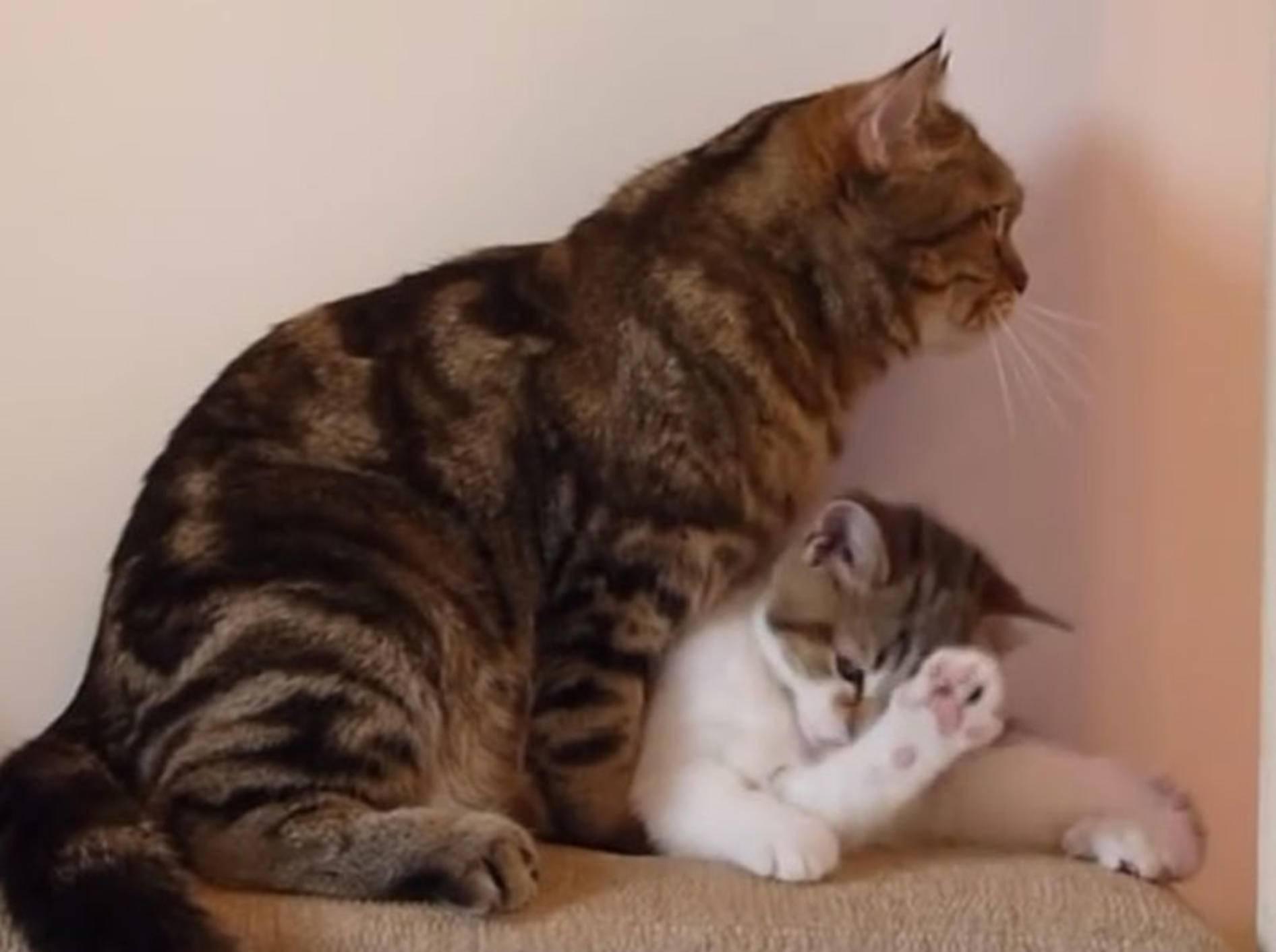Mama Coco bringt Mini-Kater Rocky die Katzenwäsche bei – YouTube / Funnycatsandnicefish