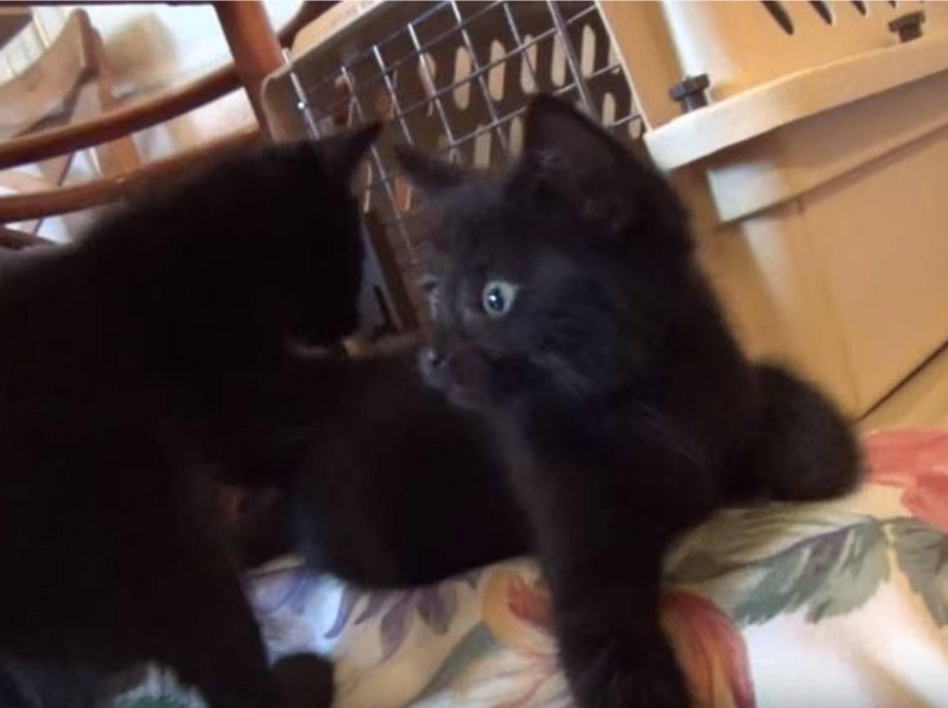 Die Katze als Hunde-Imitator. Wetten, dass niemand drauf reinfällt – YouTube / The Kits Cats