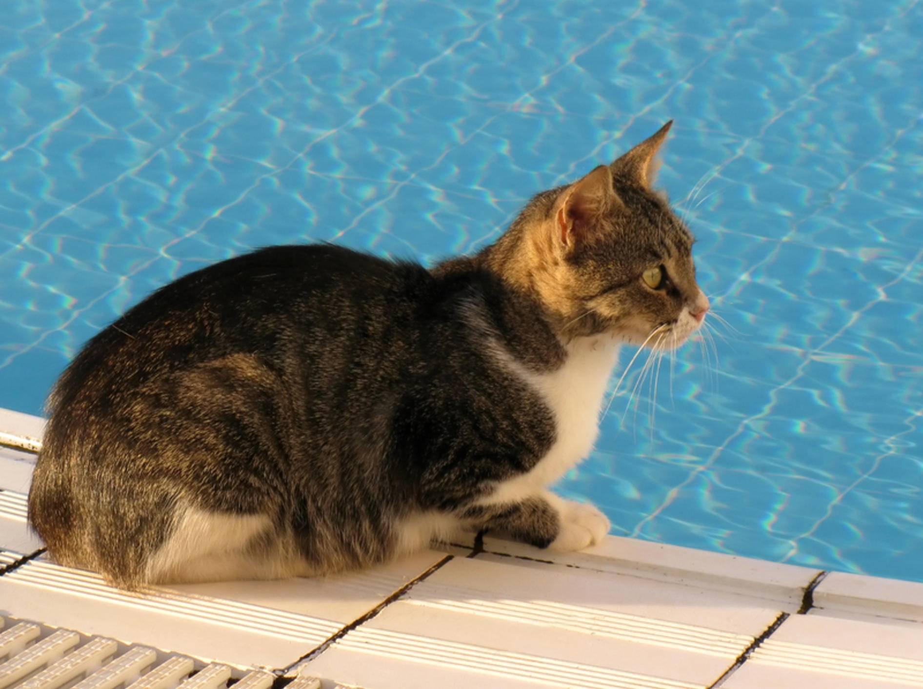 Ist ein erfrischendes Bad für Katzen mit ihren Schwimmfähigkeiten überhaupt möglich? – shutterstock / Olga Lipatova