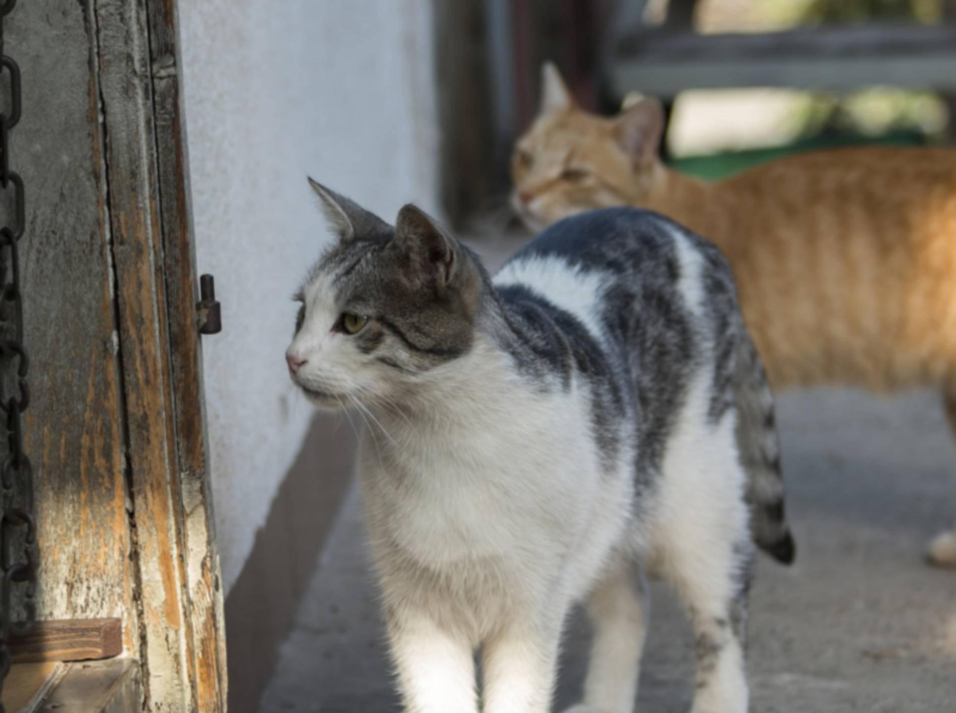 Katzen sind freiheitsliebend und neugierig. Beste Voraussetzungen, um die Nachbarn zu besuchen – shutterstock / Robert Petrovi