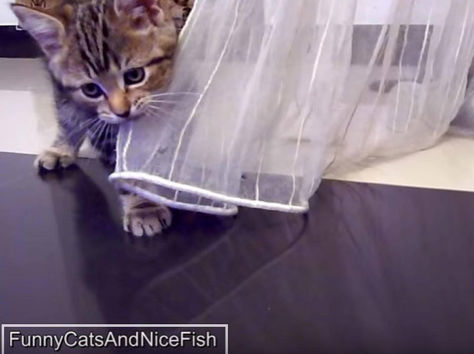 Baby-Katzen kämpfen mit Vorhang und miteinander – YouTube / Funnycatsandnicefish