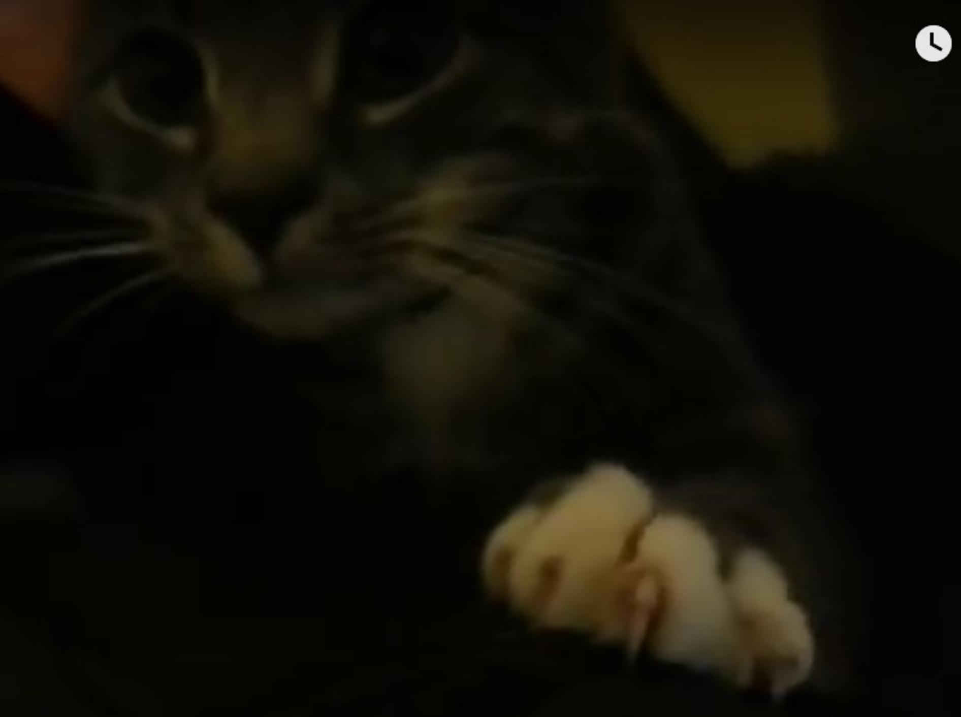 Kater Rudy versucht mit Kulleraugen, sein Herrchen am Weggehen zu hindern – Voujdjr-YouTube