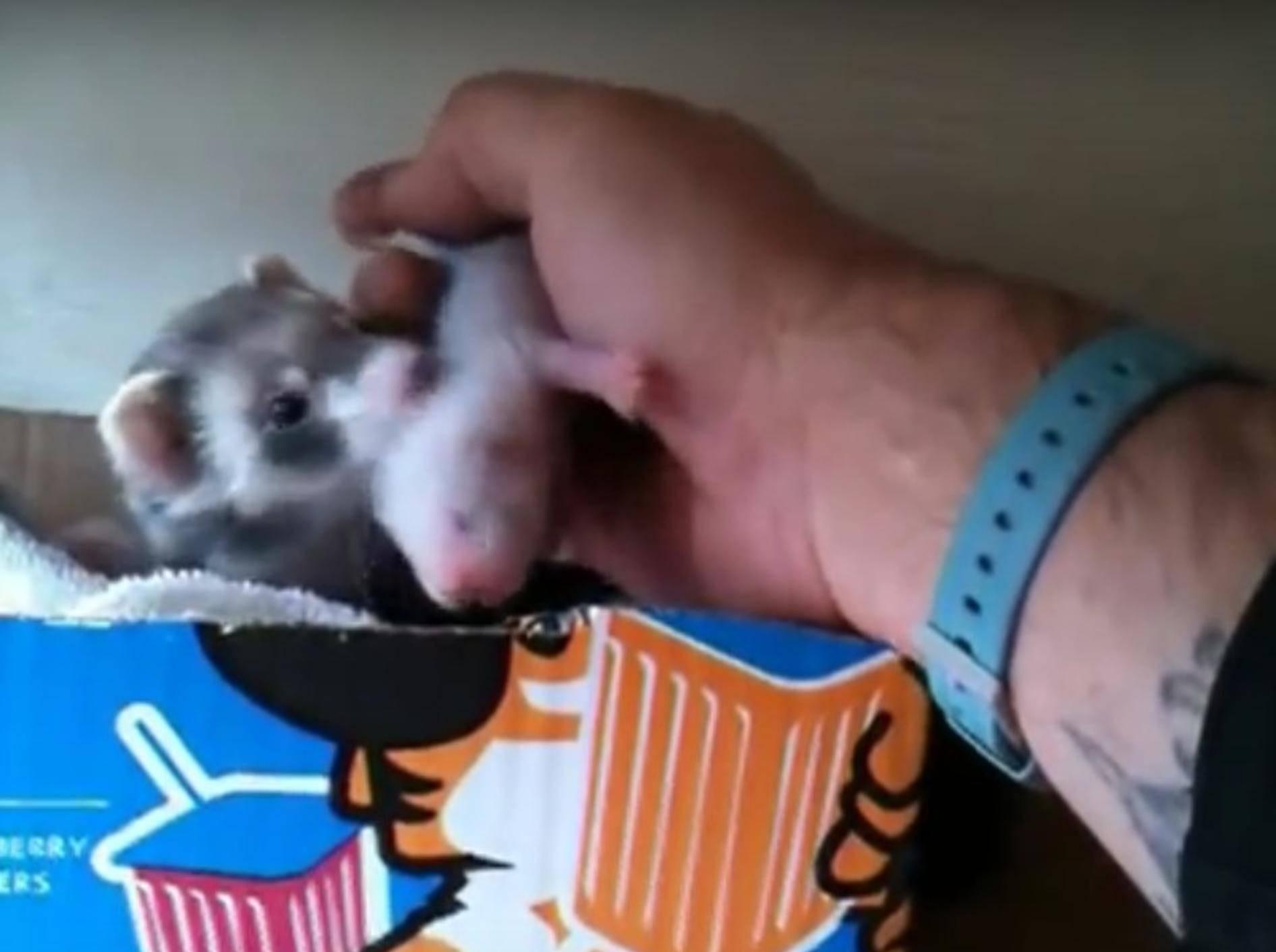 Die Frettchenmama will seinem Besitzer unbedingt ihre Brut zeigen – brett forster/YouTube