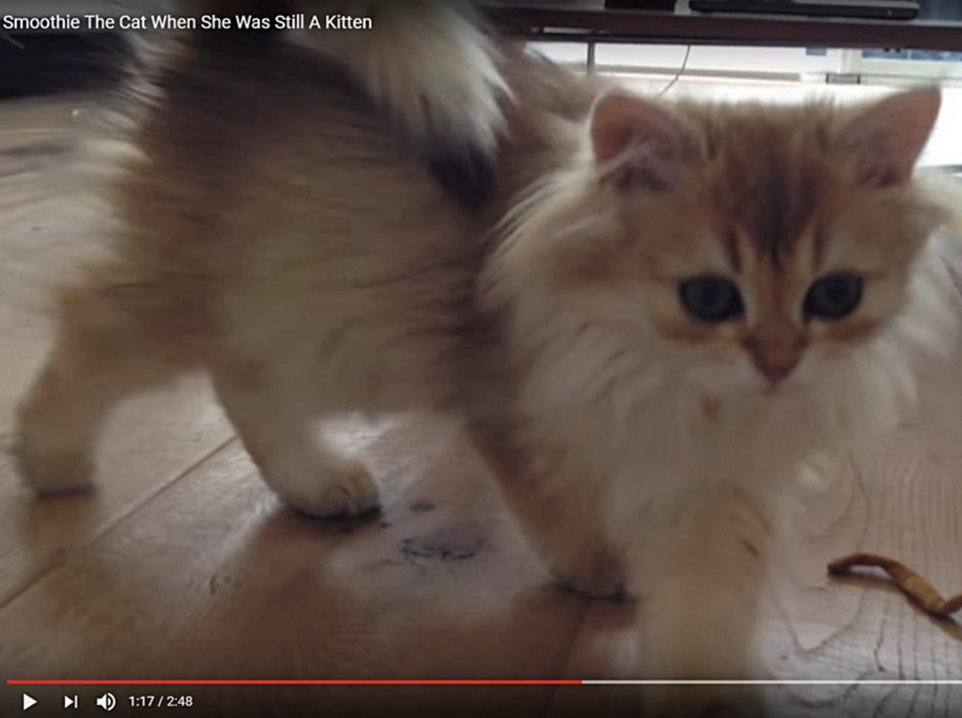 Katze-Smoothie-So-suess-als-Minimiez