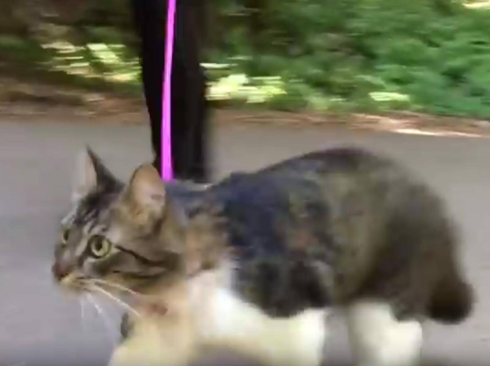 Katze Rosie hat richtig Spaß im Wald – genau wie ihre Hundefreunde – YouTube / Lilothehusky