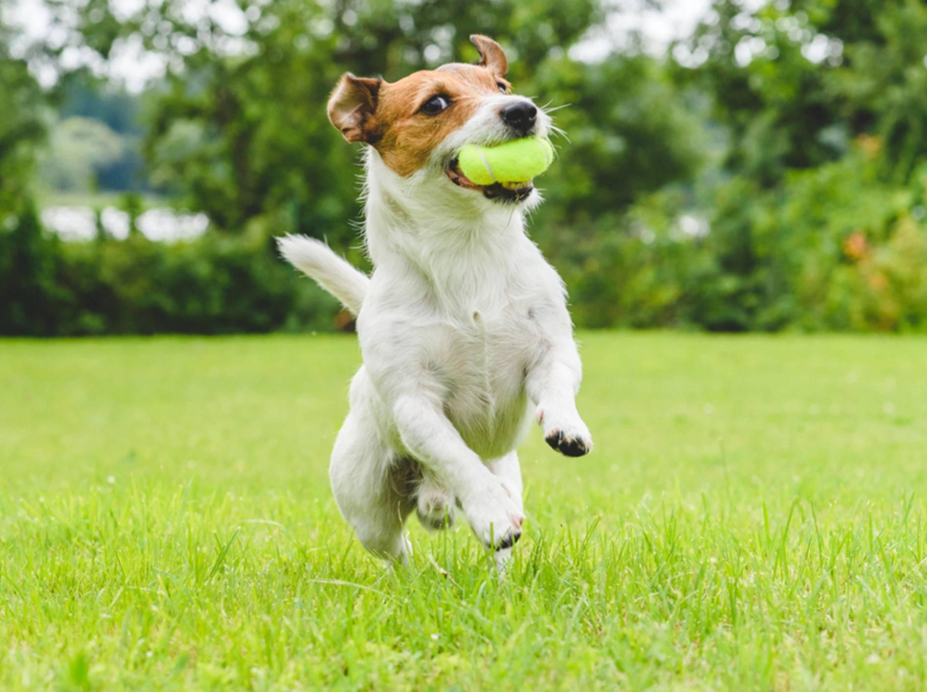 Eine Zerrung beim Hund kann zum Beispiel bei wilden Spielereien zustande kommen – Shutterstock/alexei_tm