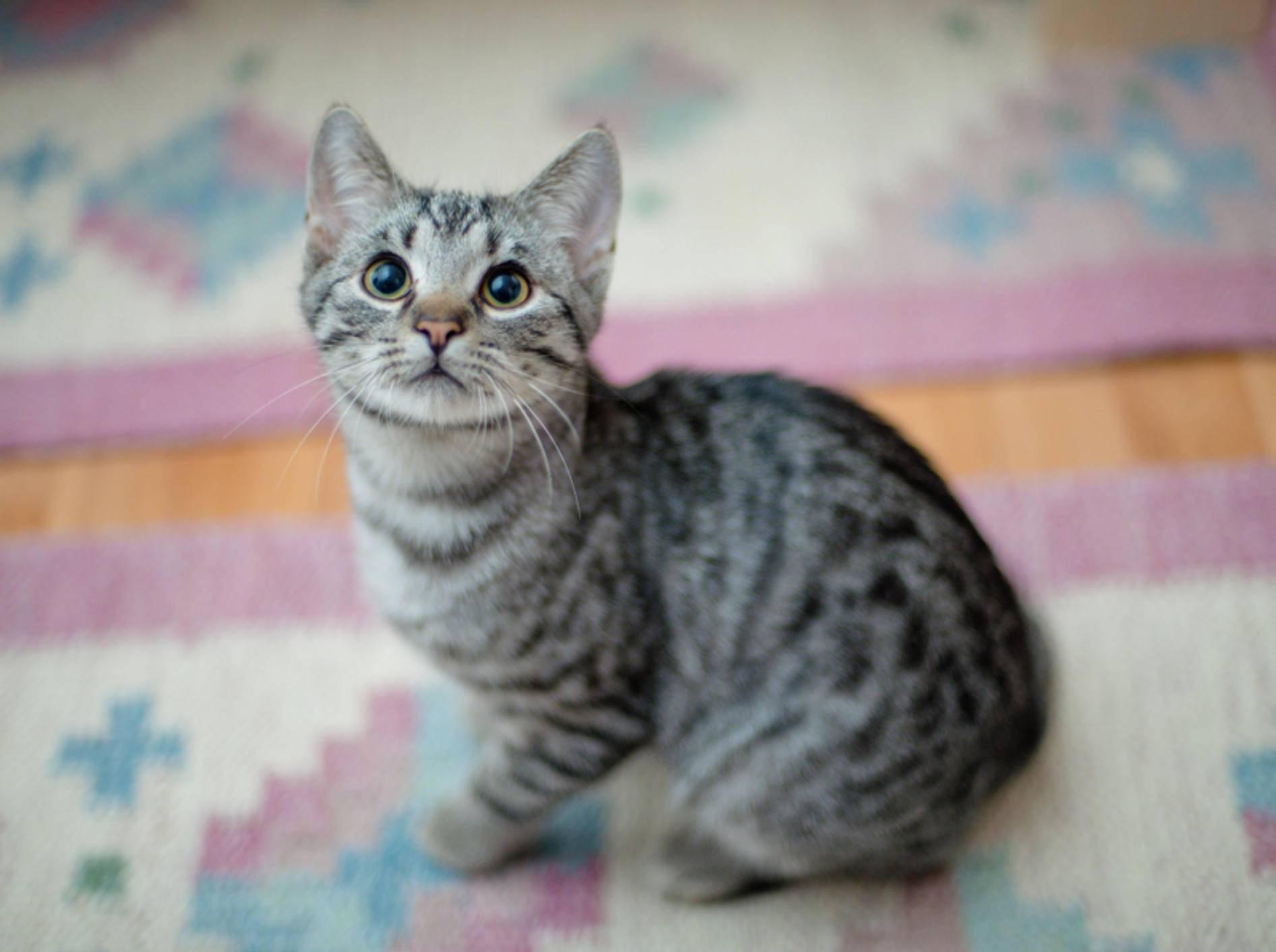 """""""Nicht schimpfen, ich hab nicht mit Absicht auf den Teppich gepinkelt"""", scheint diese Tabby-Katze sagen zu wollen – Shutterstock / AttilaVarga"""