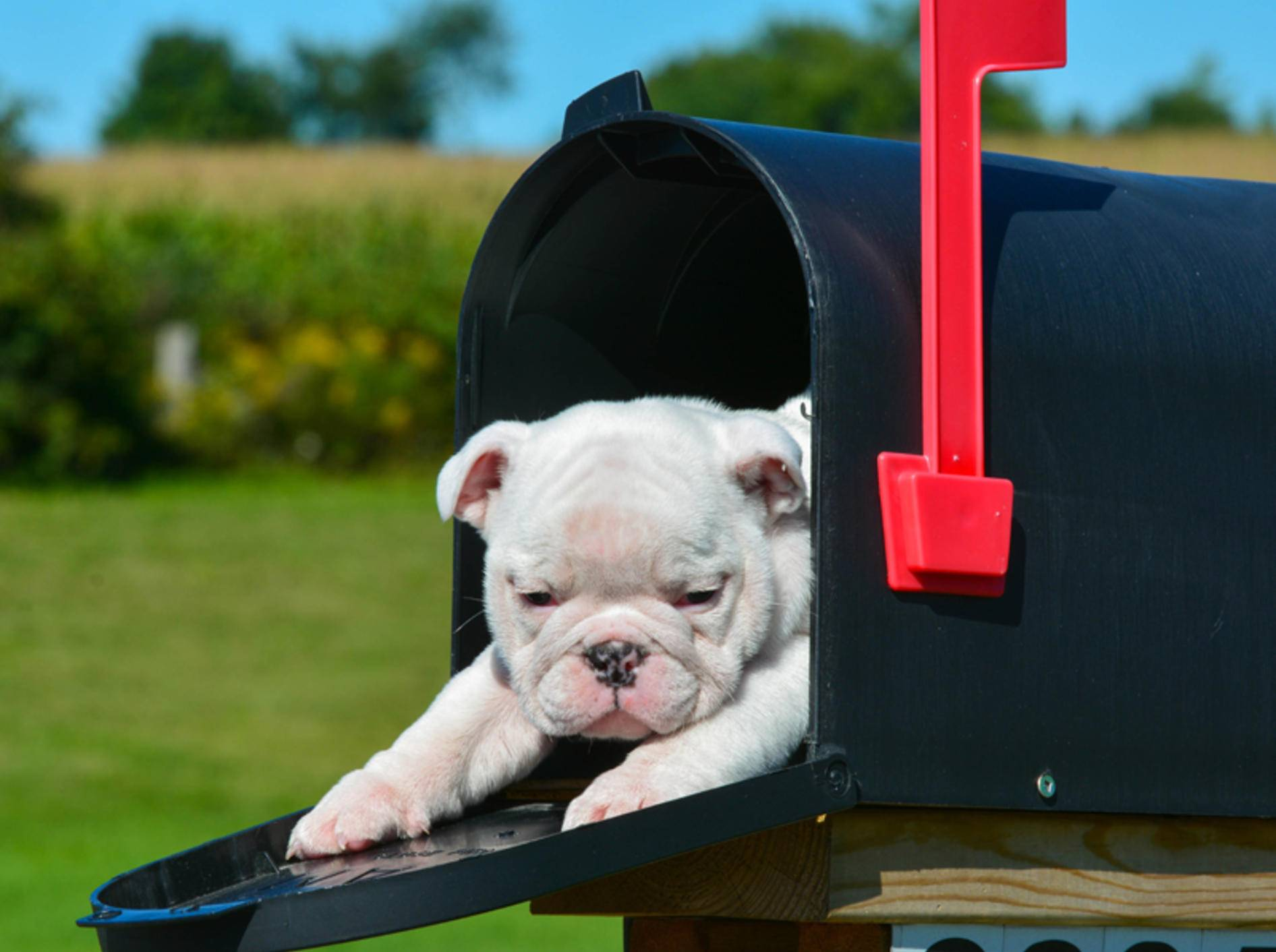 Dieser Bulldoggenwelpe muss das Wachehalten noch üben: Beim Warten auf den Postboten ist der kleine Hund im Briefkasten eingeschlafen – Shutterstock / WilleeCole Photography