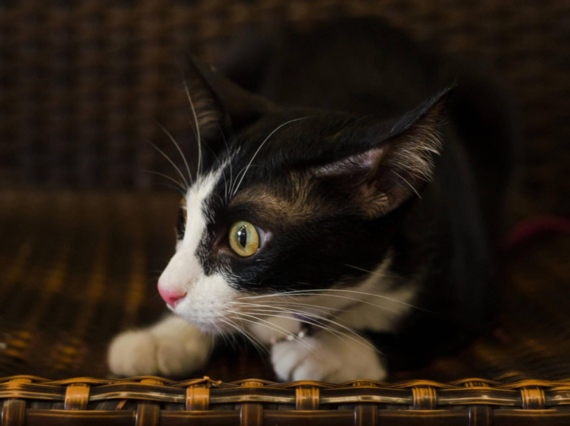 Angst ist ein möglicher Grund, warum Katzen zittern – kowit1982/Shutterstock
