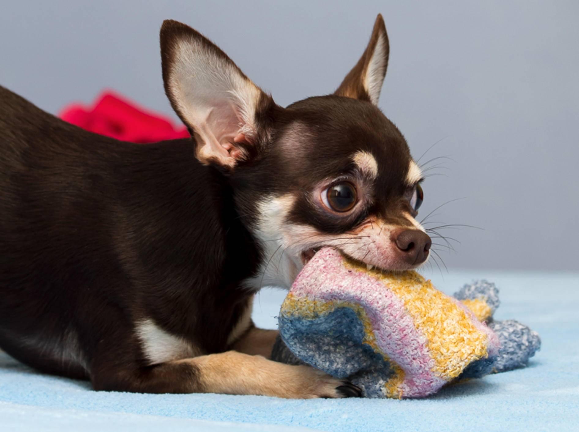 Hunde wie dieser Chihuahua lieben den Geruch von Socken, weil er sie an ihre Lieblingsmenschen erinnert – Shutterstock / kamilpetran