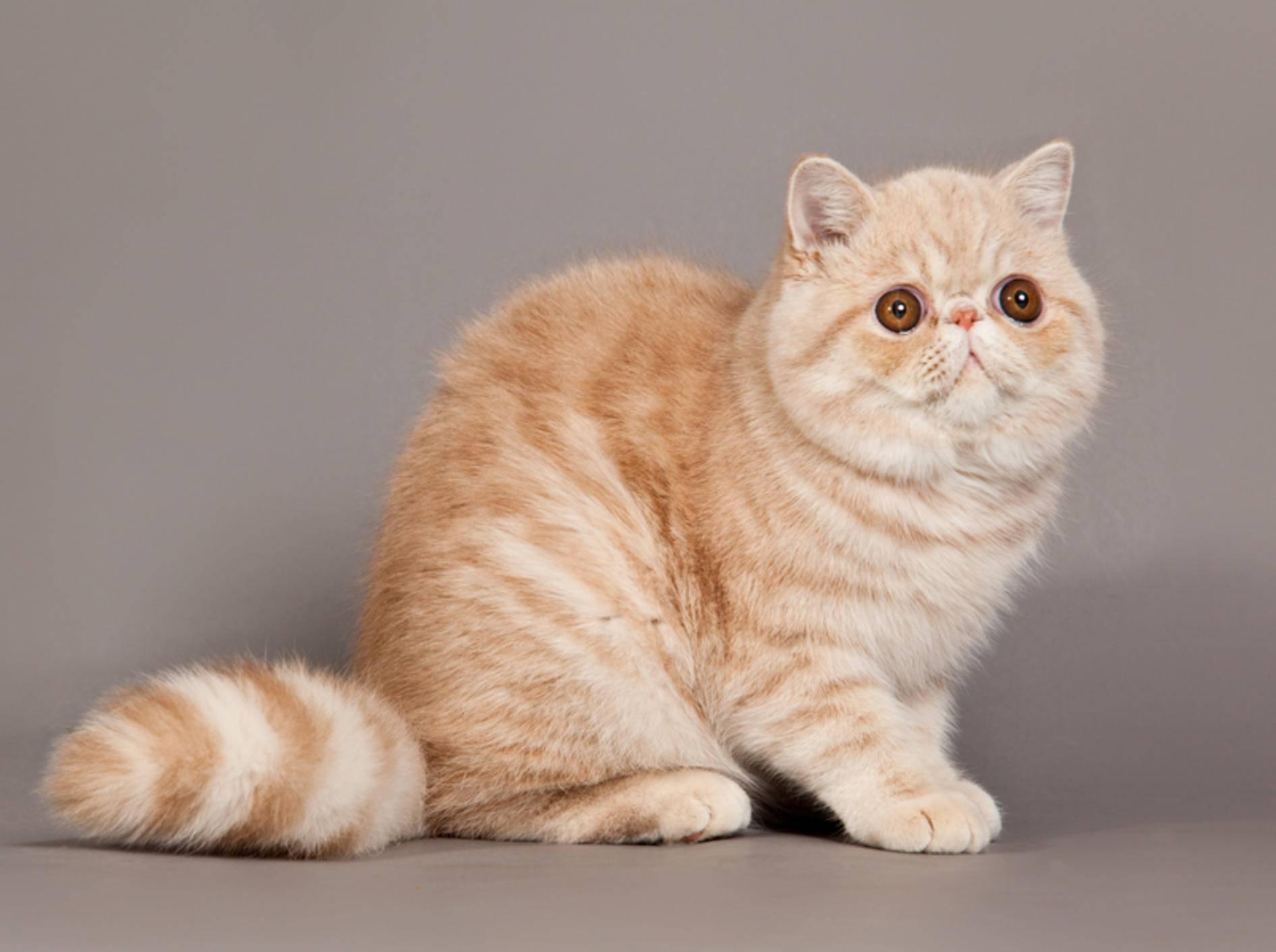 Kommt es bei Katzenrassen wie der Exotic Shorthair zu Überzüchtung, ähneln die Symptome denen des Down-Syndroms bei Menschen – Shutterstock / Ewais