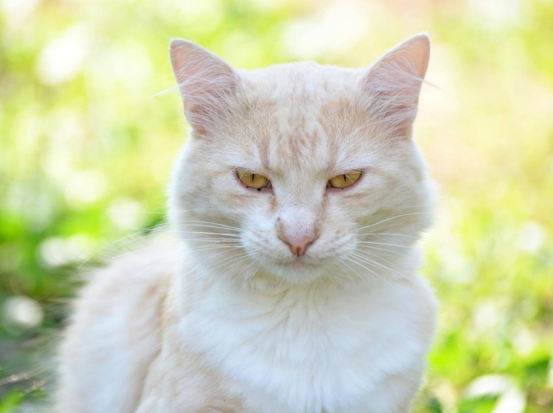 gelbe-Katze-schaut-grimmig