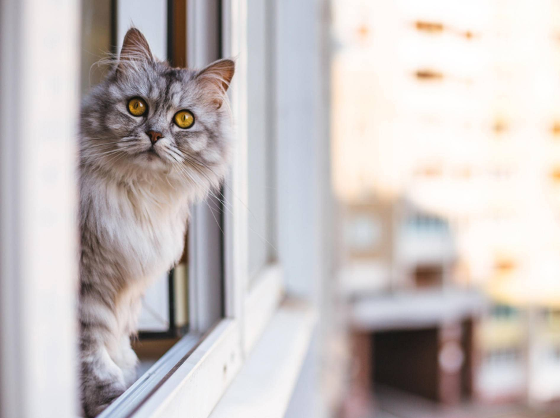 Ein Fenstersturz kann für Katzen mit schweren Verletzungen enden und sie sogar in Lebensgefahr bringen. Sichern Sie Ihre Fenster daher gut ab – Shutterstock / lkoimages