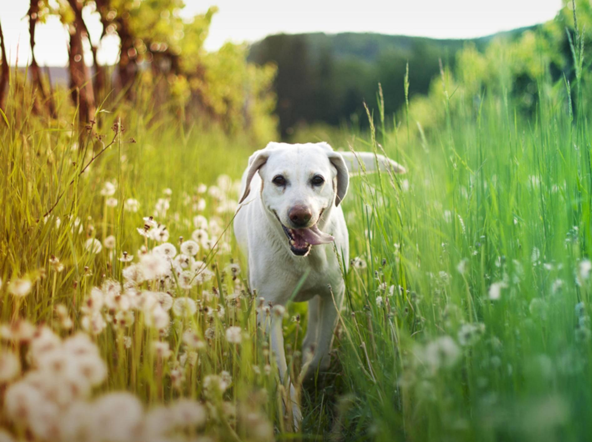 Vorsicht! In hohen Gräsern können sich Zecken verstecken. Schützen Sie Ihren Hund so gut es geht vor den Parasiten – Shutterstock / uhercikova