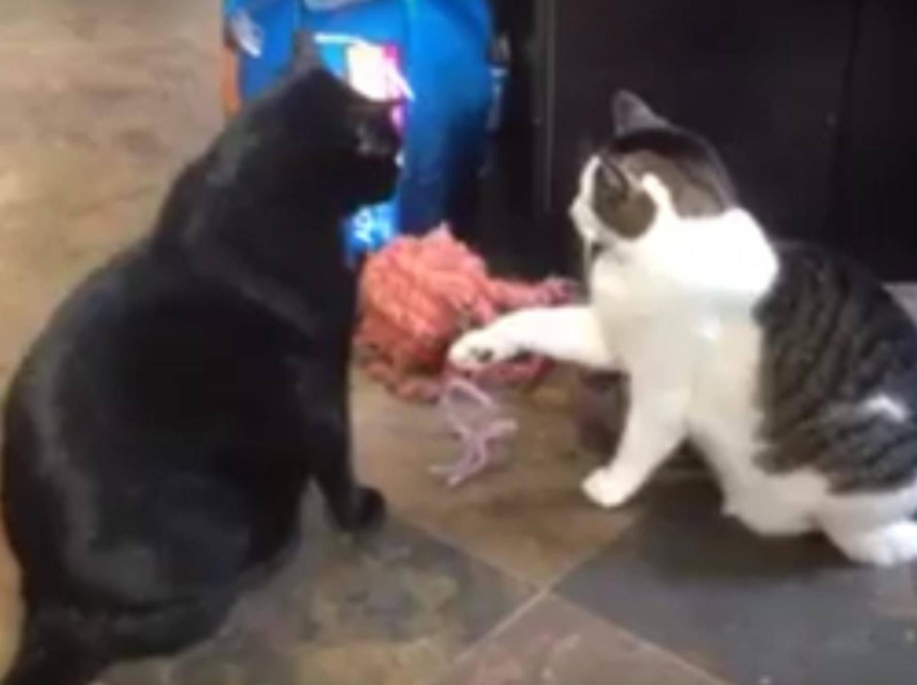 """""""Leg dich nicht mit dem Falschen an, Freundchen"""", scheint die schwarze Katze zu sagen. Ihre autoritäre Präsenz zeigt jedenfalls Wirkung – YouTube-Rumble-Viral"""
