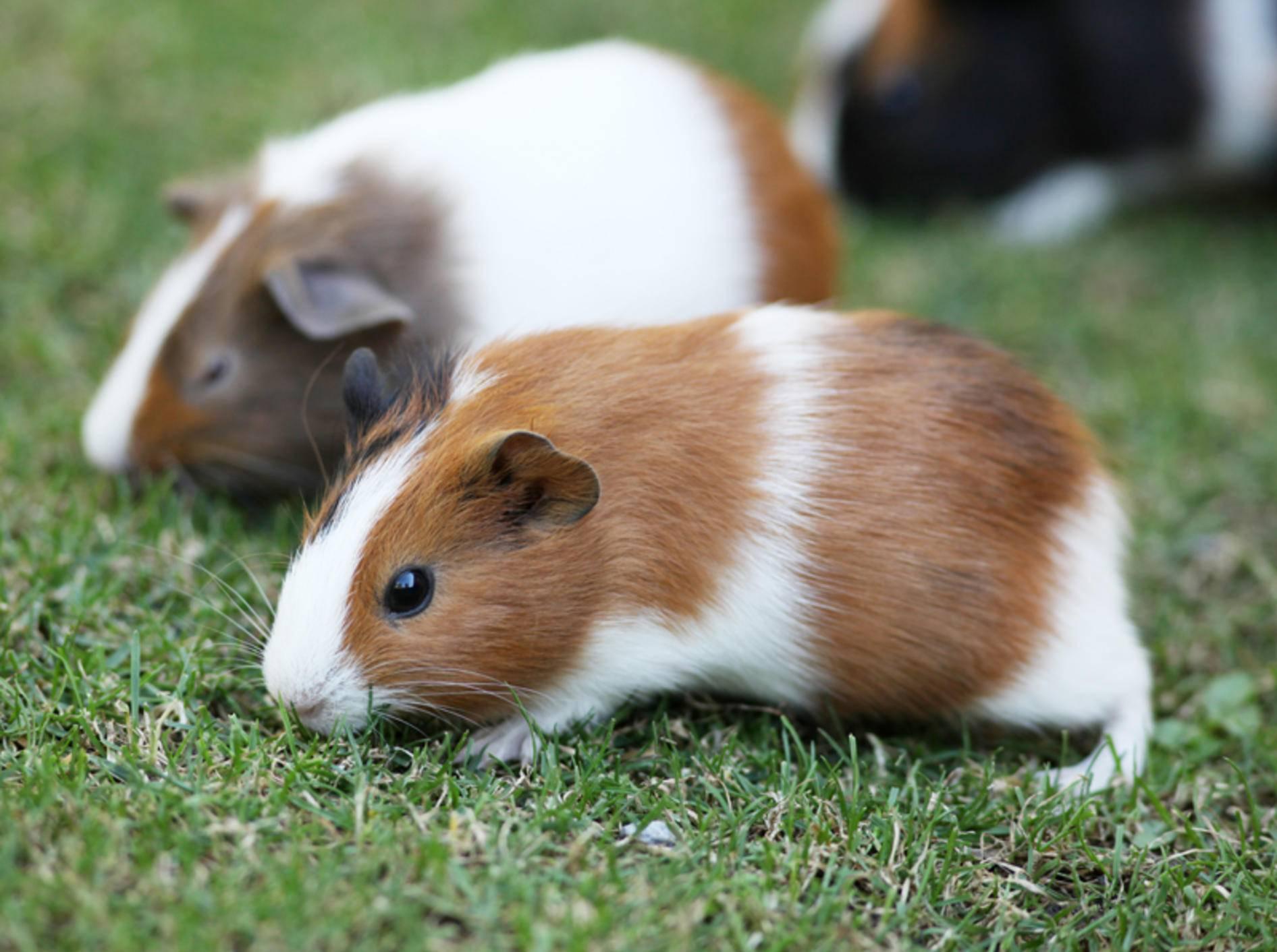 Durch eine artgerechte, liebevolle Haltung Ihrer Meerschweinchen sowie eine gute Ernährung können Sie das Risiko eines Pilzbefalls mindern – Shutterstock / Reinhold Leitner