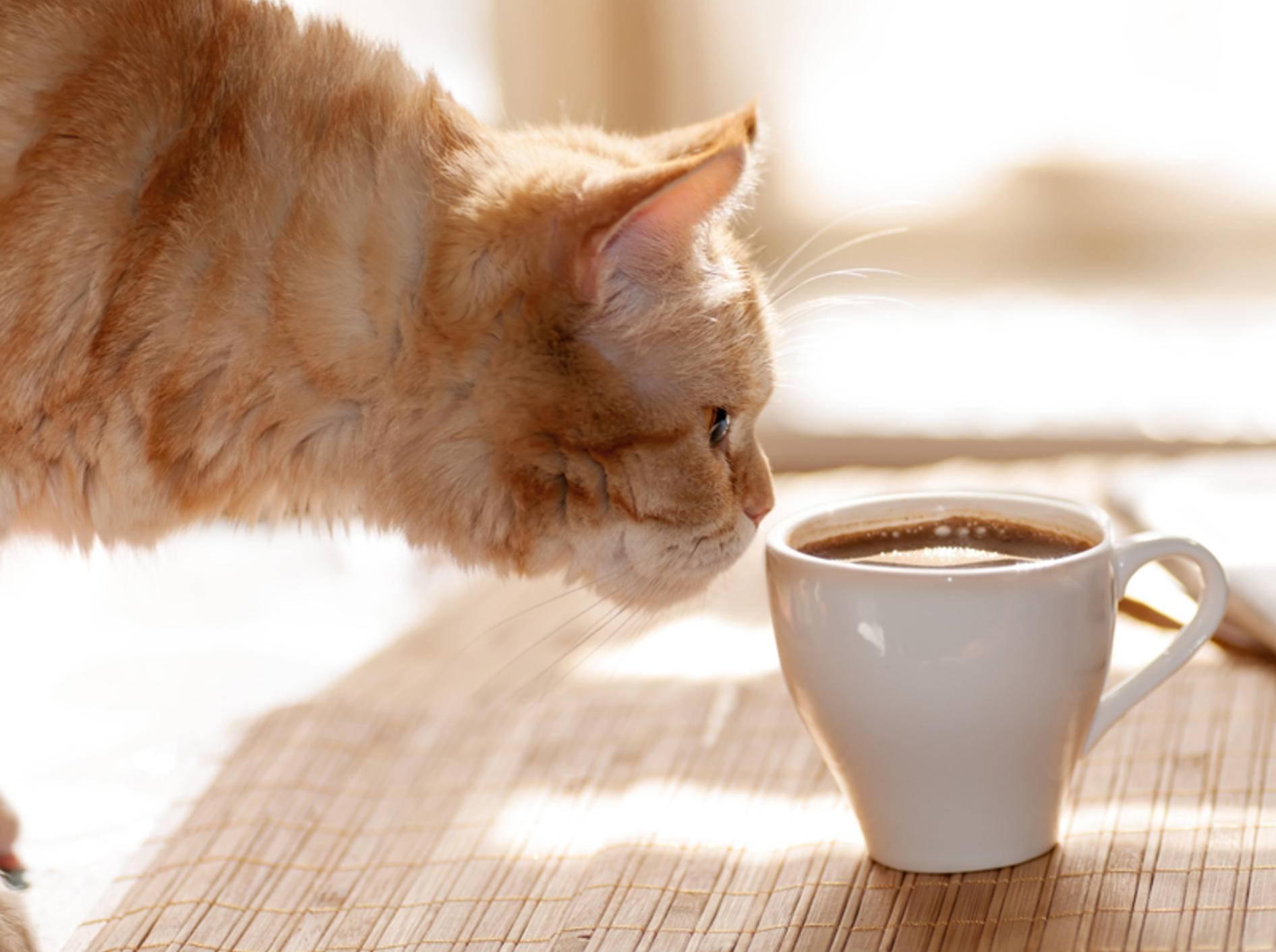 Nur schnuppern, nicht trinken: In Katzencafés dürfen die Katzen nicht gefüttert, aber gestreichelt und bespaßt werden – Shutterstock / Germanova Antonina