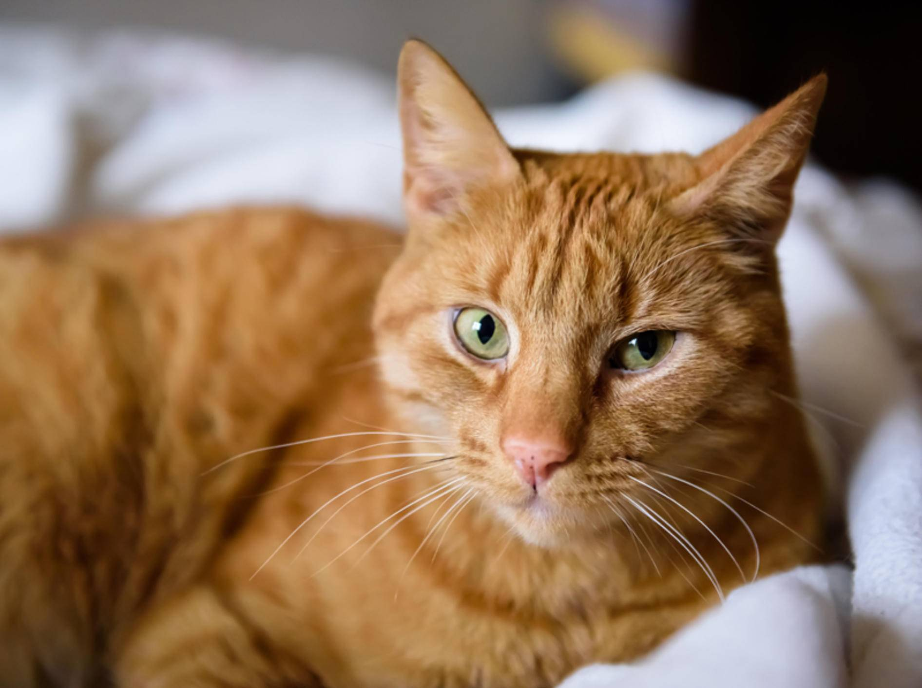 Ähnlich wie bei Menschen sind es vor allem rothaarige und hellhäutige Katzen, die zu Sommersprossen neigen – Shutterstock / Gints Ivuskans