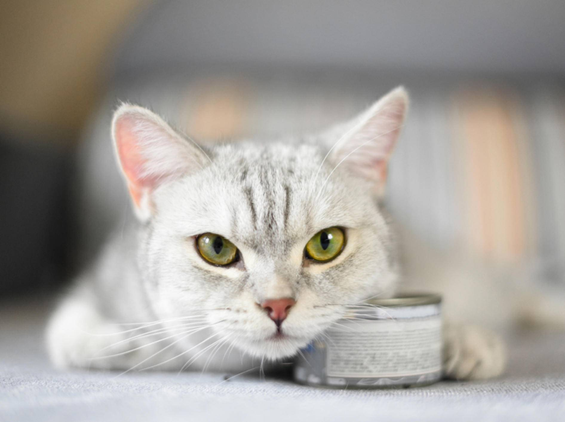 Alte Katzen brauchen oft spezielles Futter, weil sich ihr Stoffwechsel verändert – Shutterstock / WaitForLight