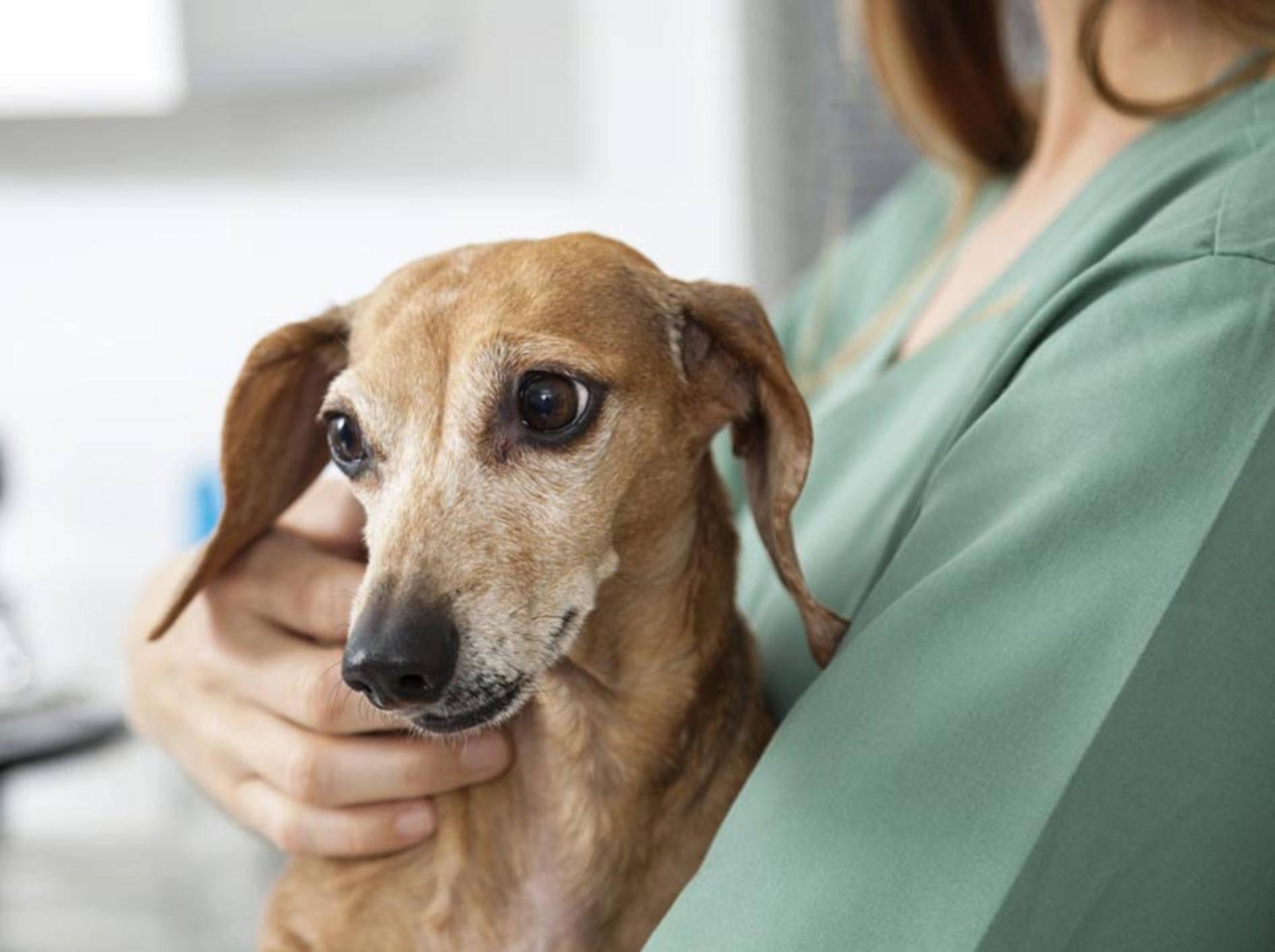 Einen Impfschutz für Hunde gegen FSME gibt es bislang noch nicht – Bild: Shutterstock / Tyler Olson