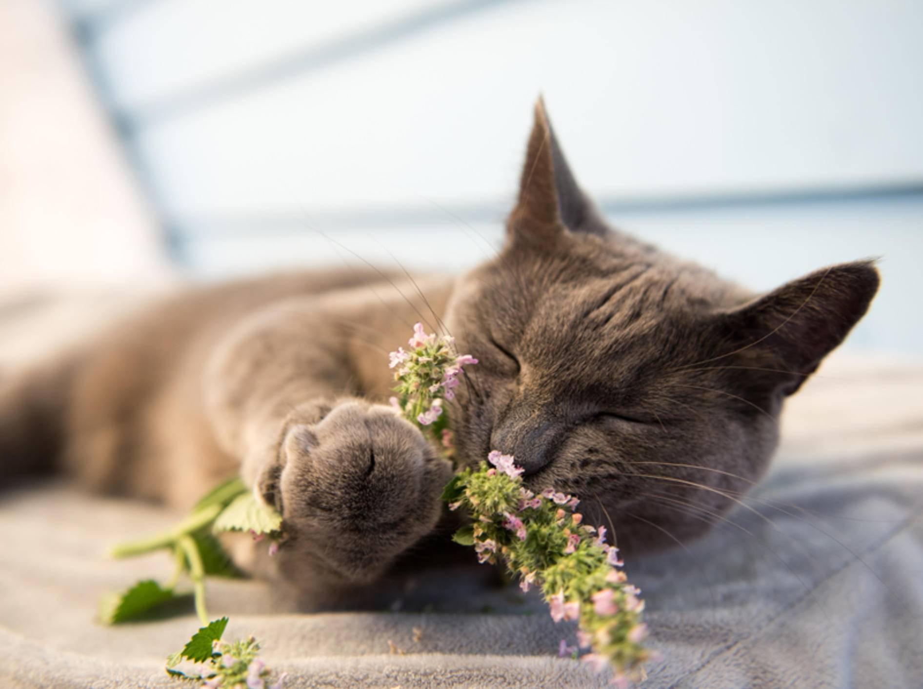 Katzen geraten in einen wahren Rausch, wenn sie Katzenminze genießen - Bild: Shutterstock / Anna Hoychuk