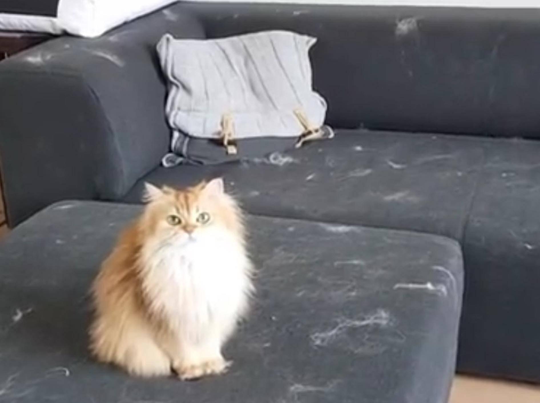 Smoothie und Milkshake dekorieren die Couch mit ihren Haaren – YouTube / smoothiethecat