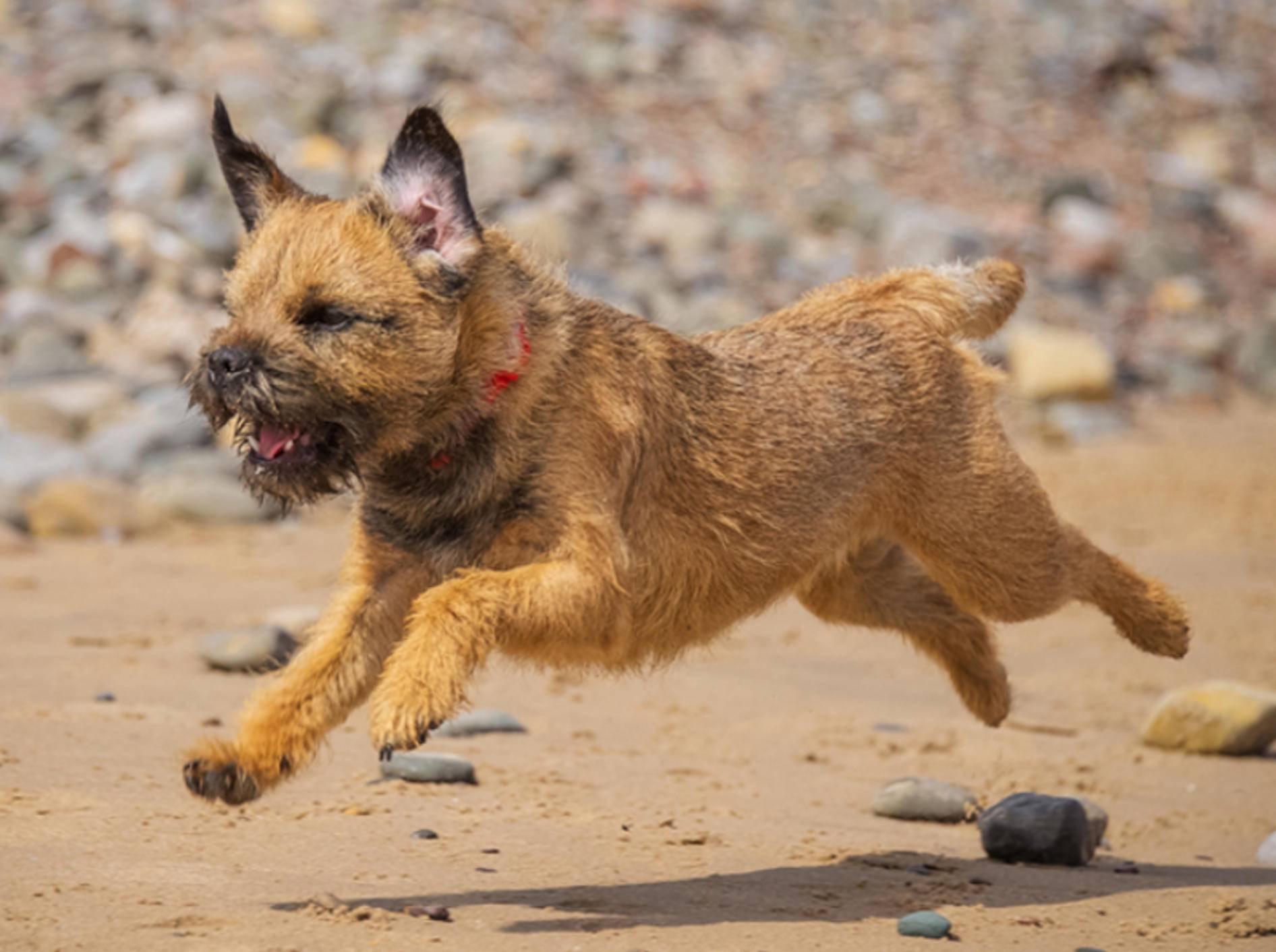 Der Border Terrier ist ein mutiger Hund, der gut ausgelastet werden sollte – Foto: Shutterstock / rebeccaashworth