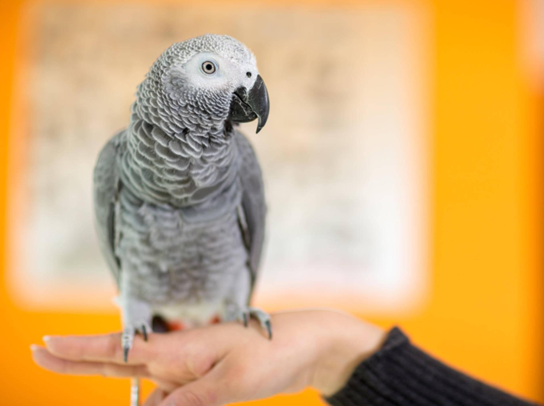 Beim leisesten Verdacht auf Psittakose sollten Sie mit Ihrem Papagei zum Tierarzt gehen – Shutterstock / Lucky Business